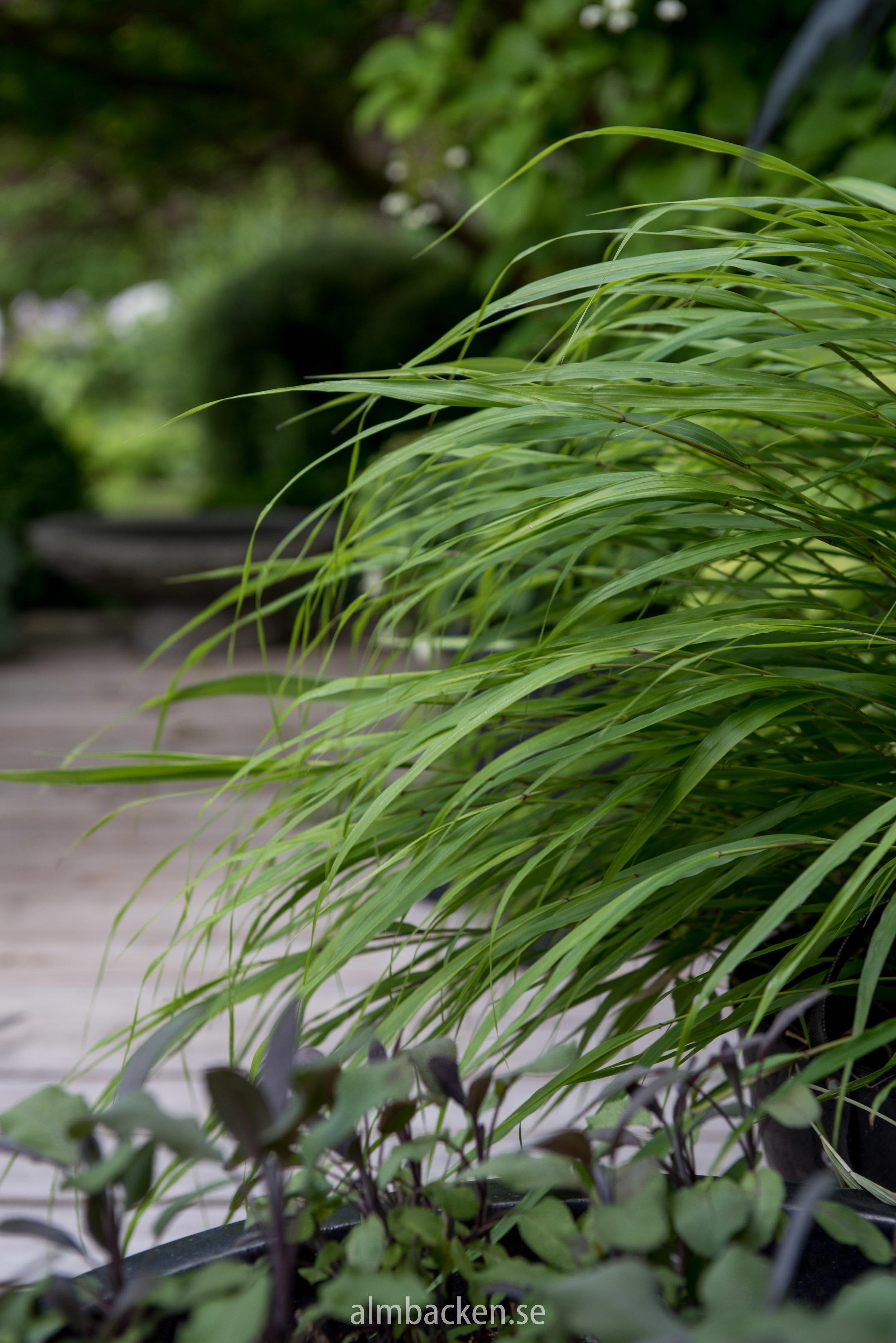 Hakonegräs (Hakonechloa macra)