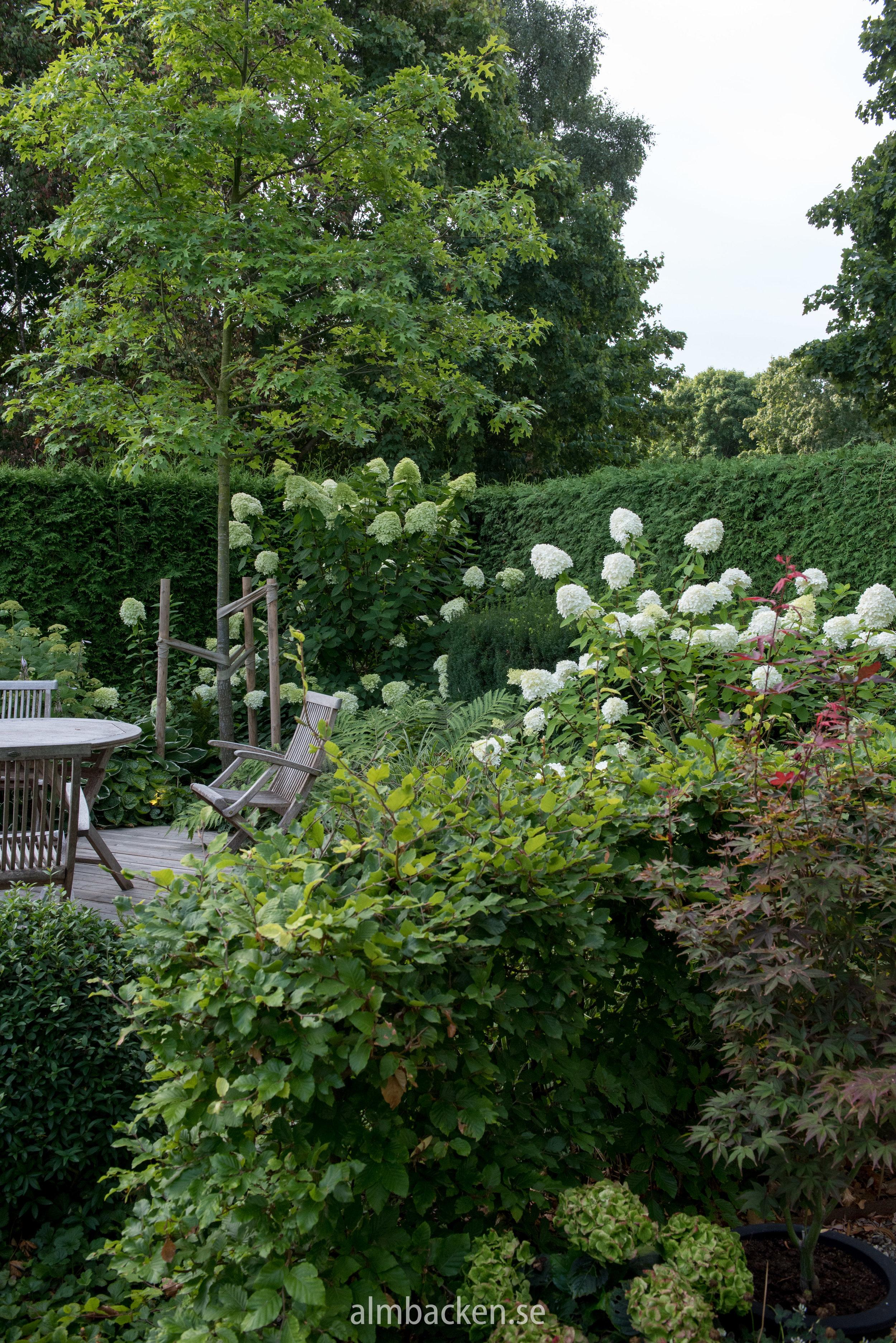 hydrangeapaniculata-hortensia-limelight.jpg