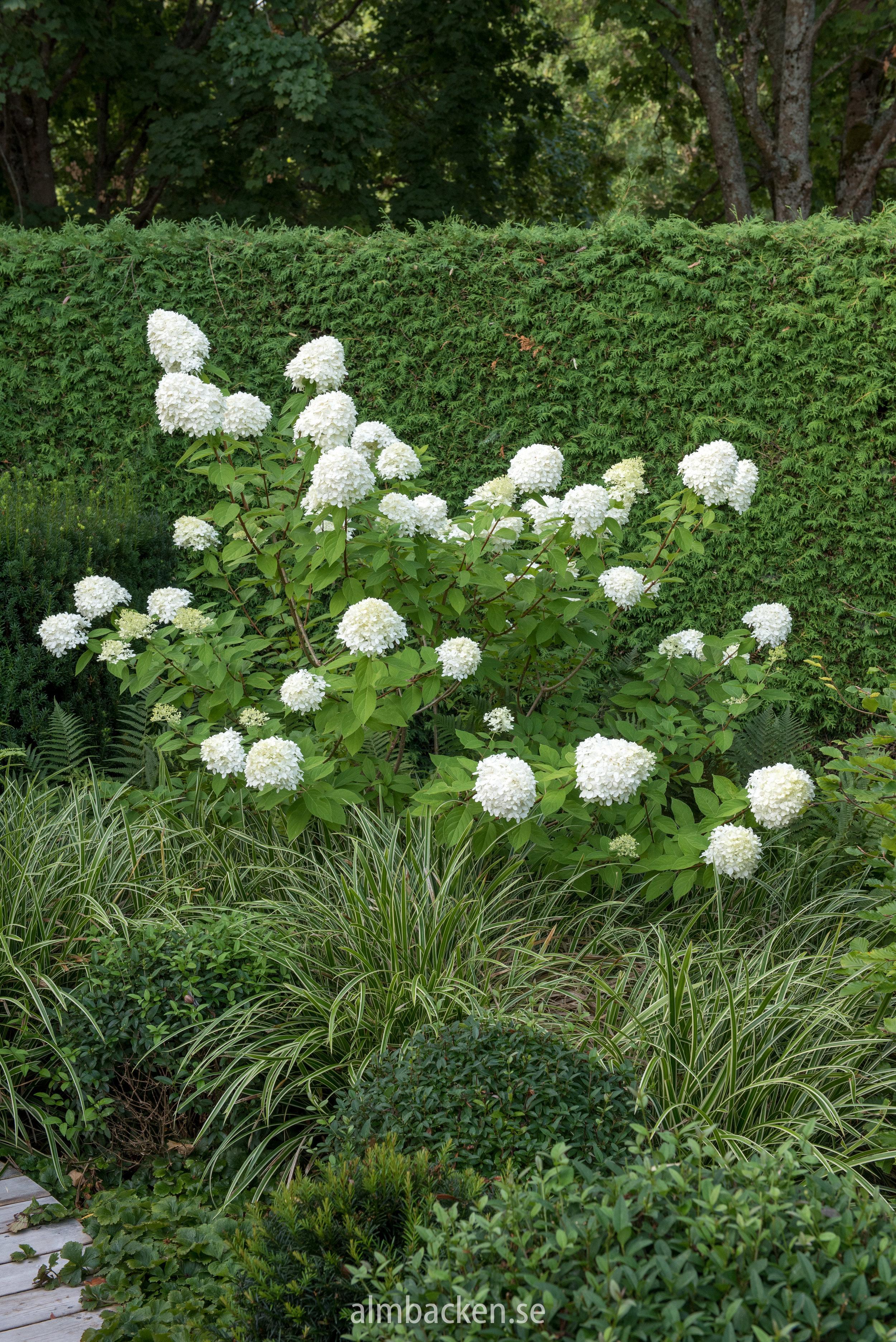 hortensia-limelight-hydrangeapaniculata.jpg