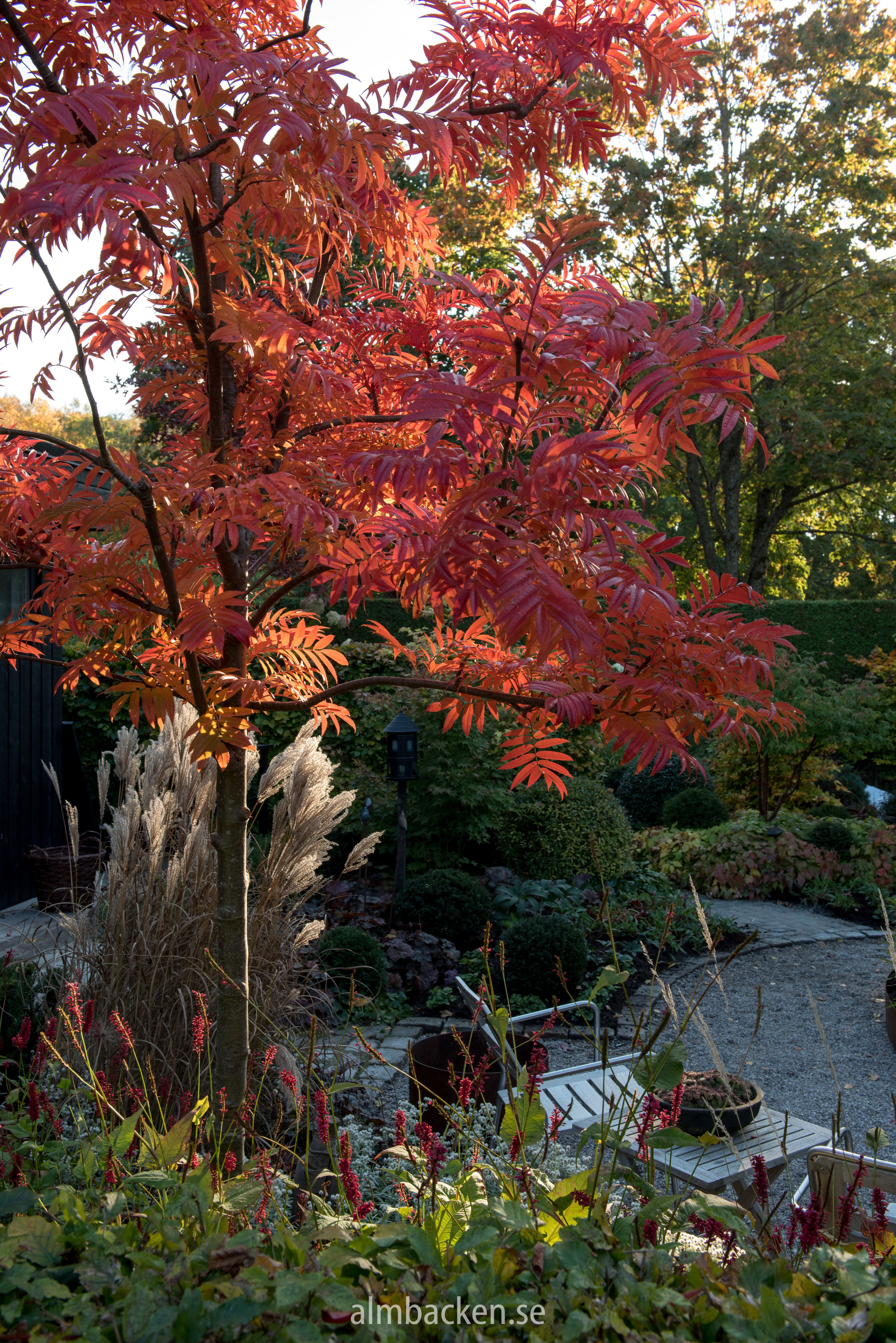 Ullungrönn-Sorbus-ulleungensis-dodong.jpg