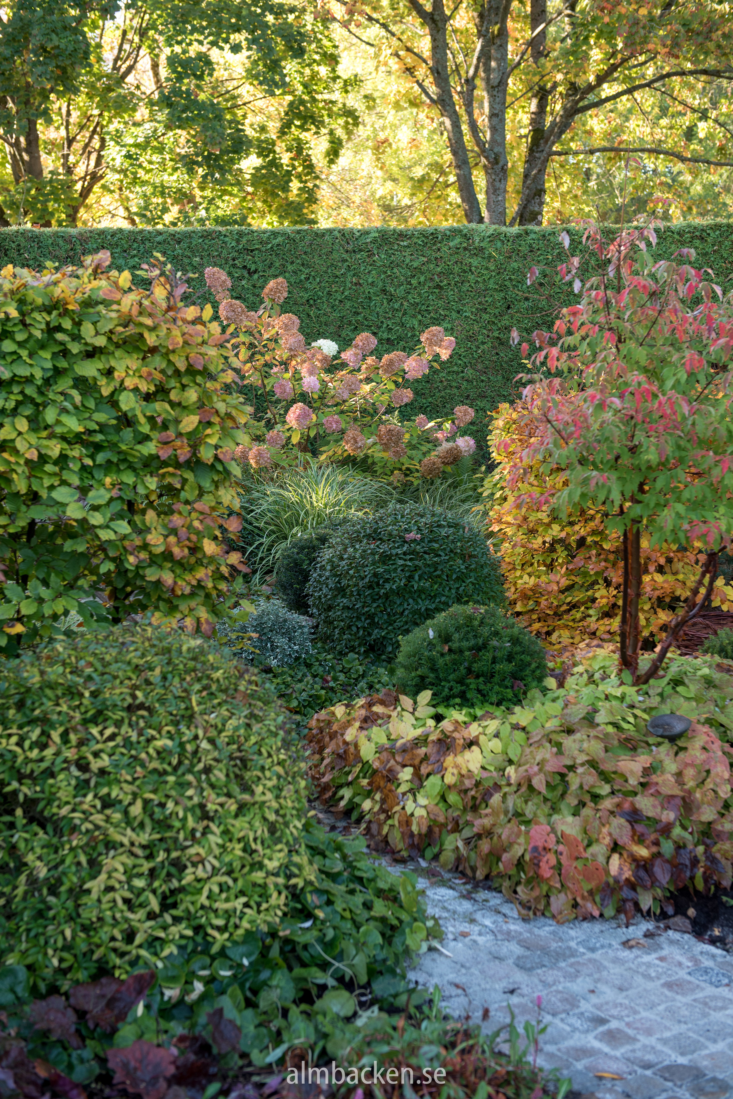 Ligusterklot (Ligustrum vulgare), kopparlönn (Acer griseum), röd sockblomma (Epimedium x rubrum) och hortensia 'Limelight' (Hydrangea Paniculata 'LImelight')