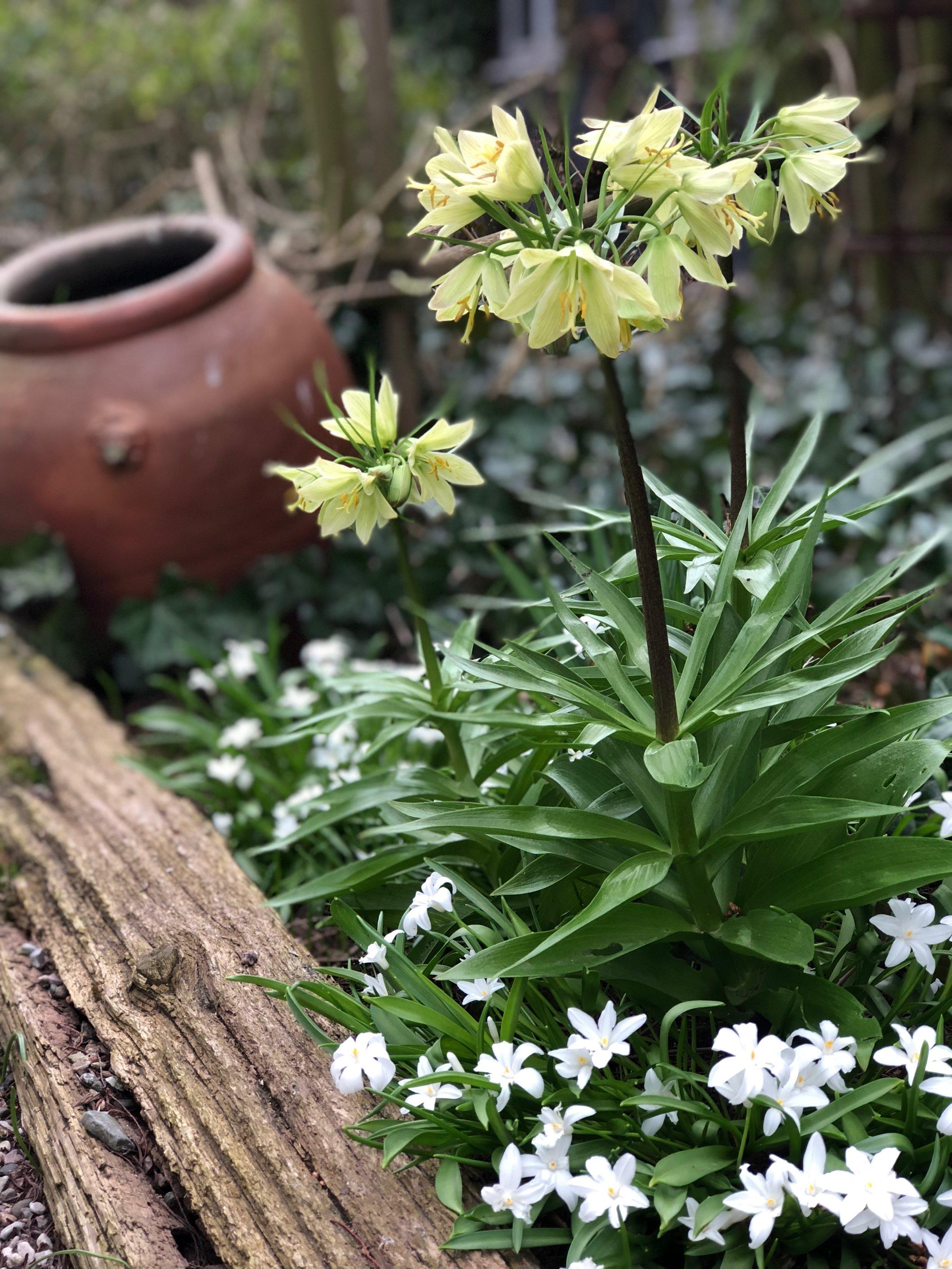 Halmgul kejsarkrona 'Raddeana' (Fritillaria Imperialis)