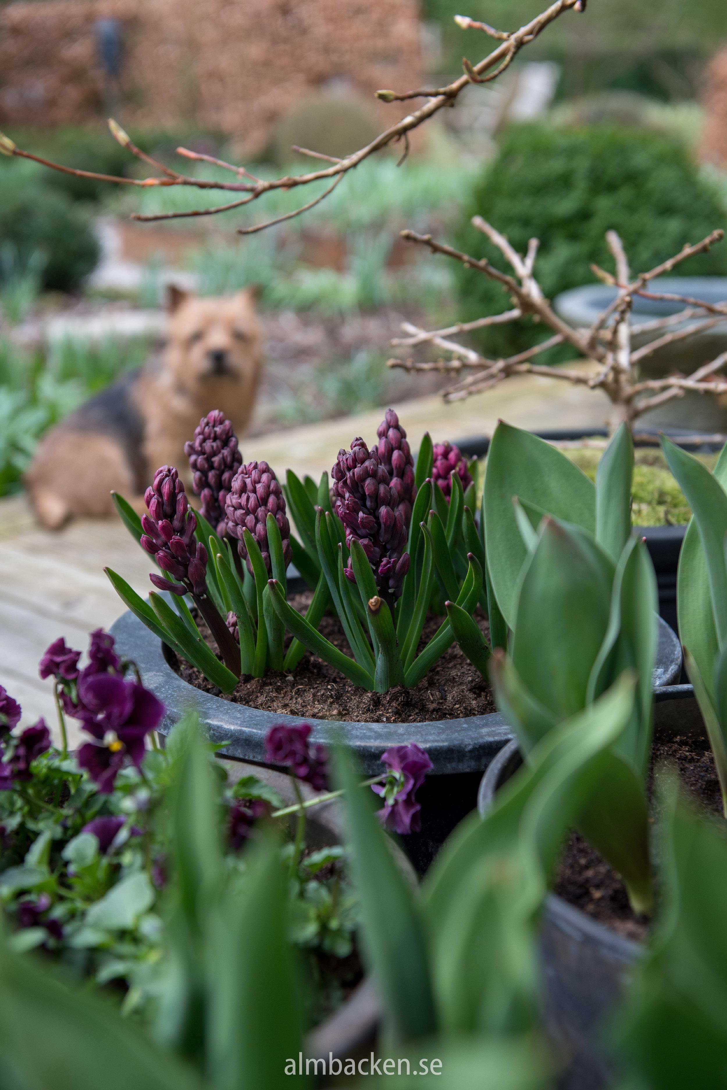 krukor-hyacint-woodstock.jpg