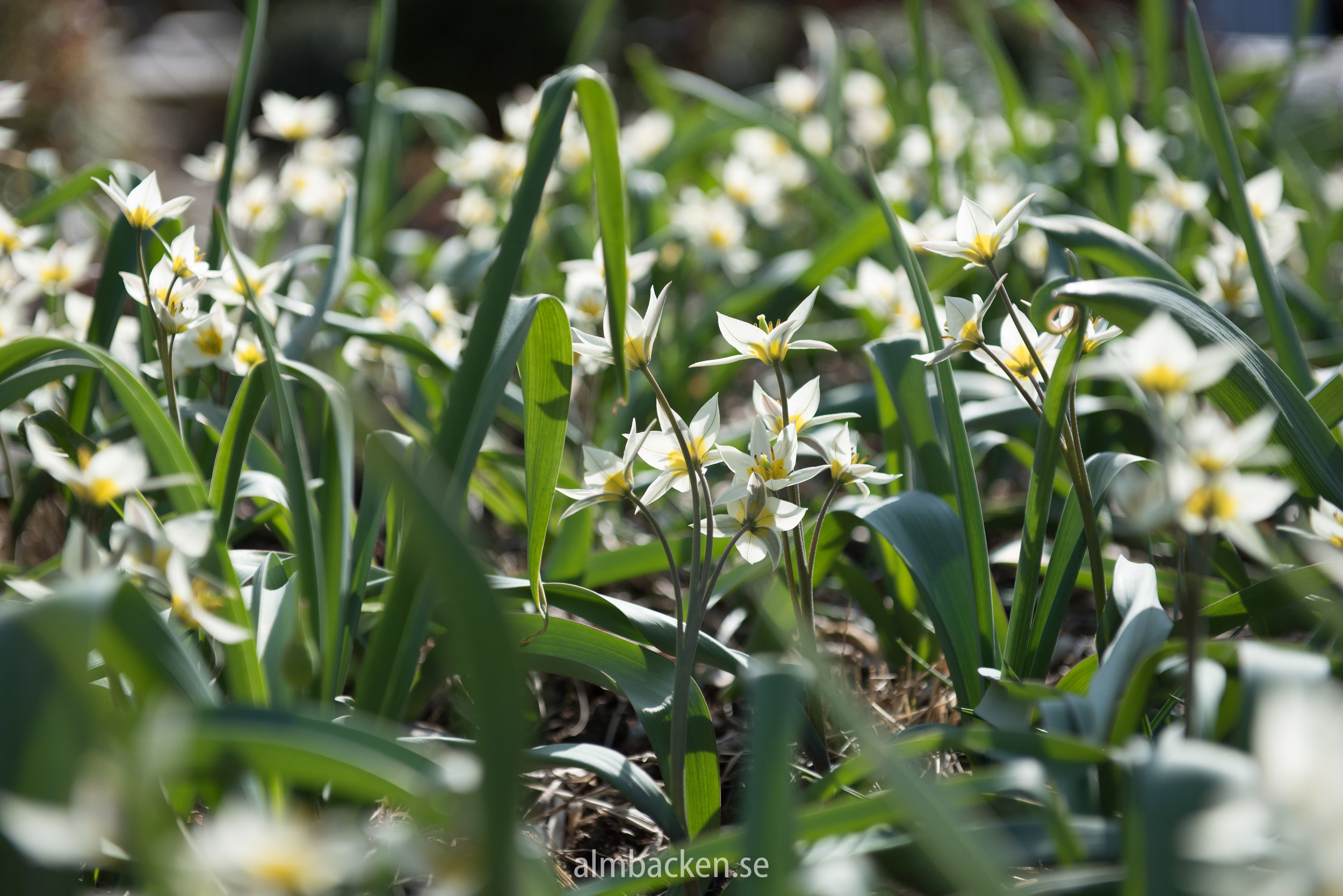 tulipa-turkestanica-vildtulpan.jpg