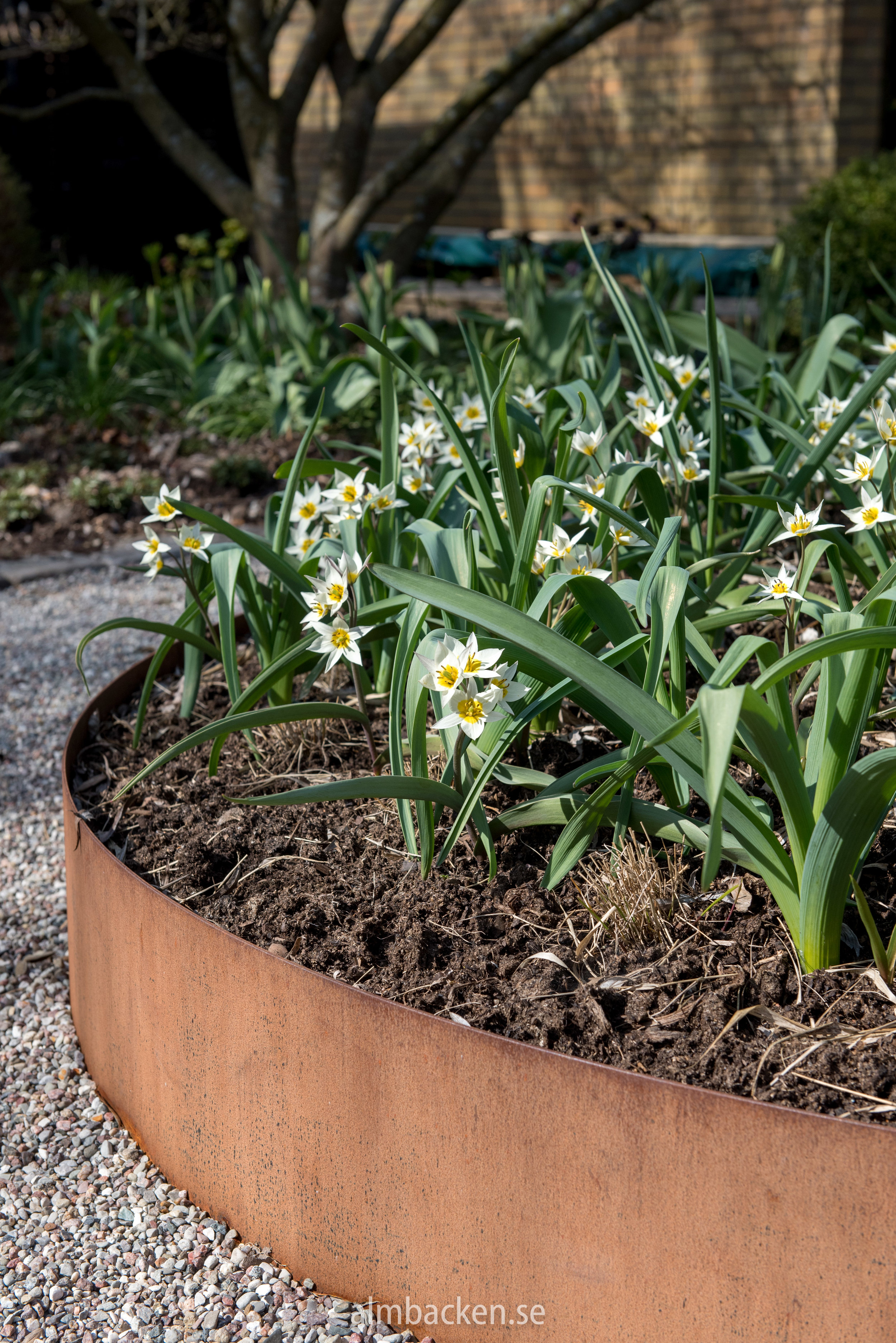tulipa-turkestanica-vildtulpan-corten