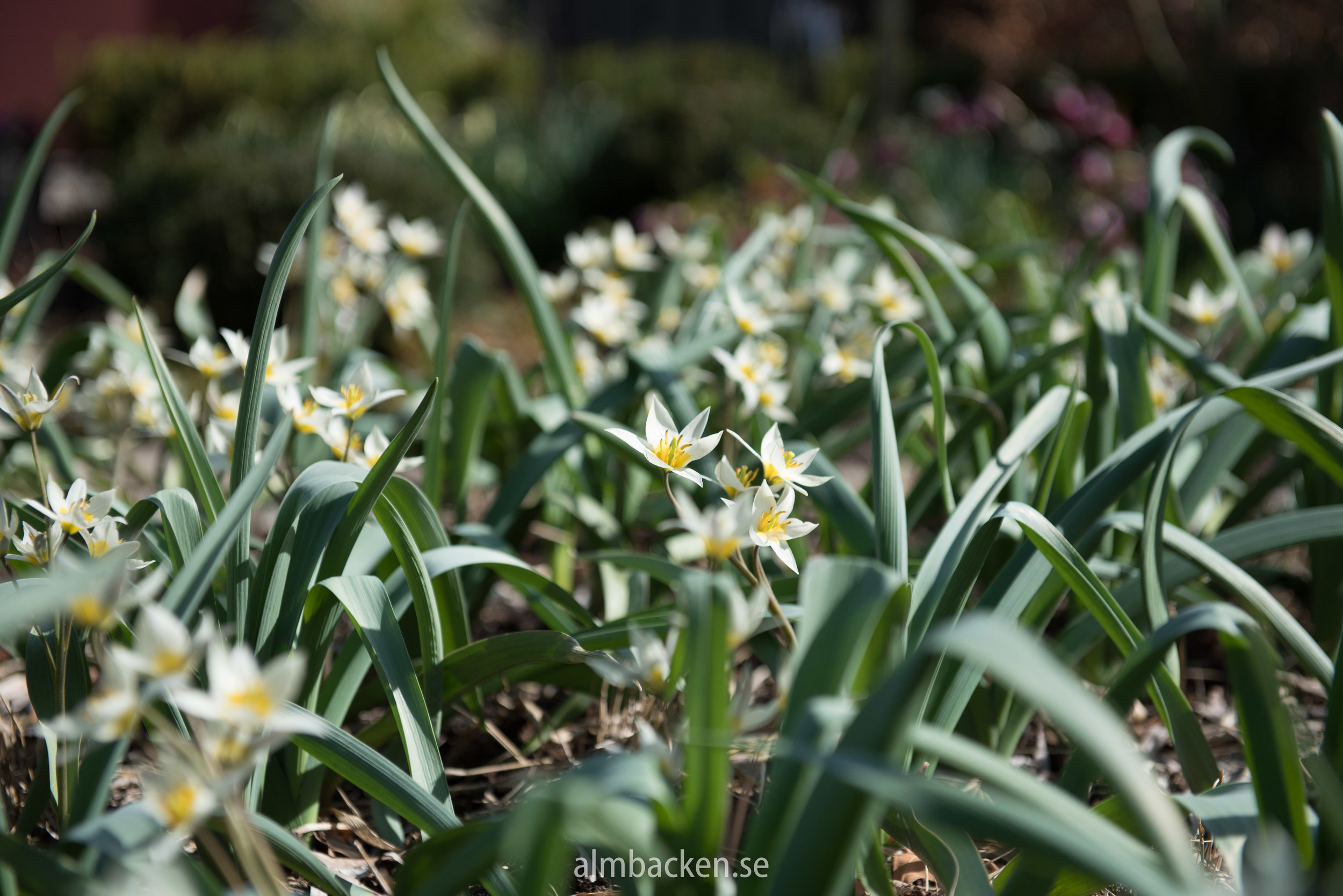 vildtulpan-turkestanica-tulipajpg