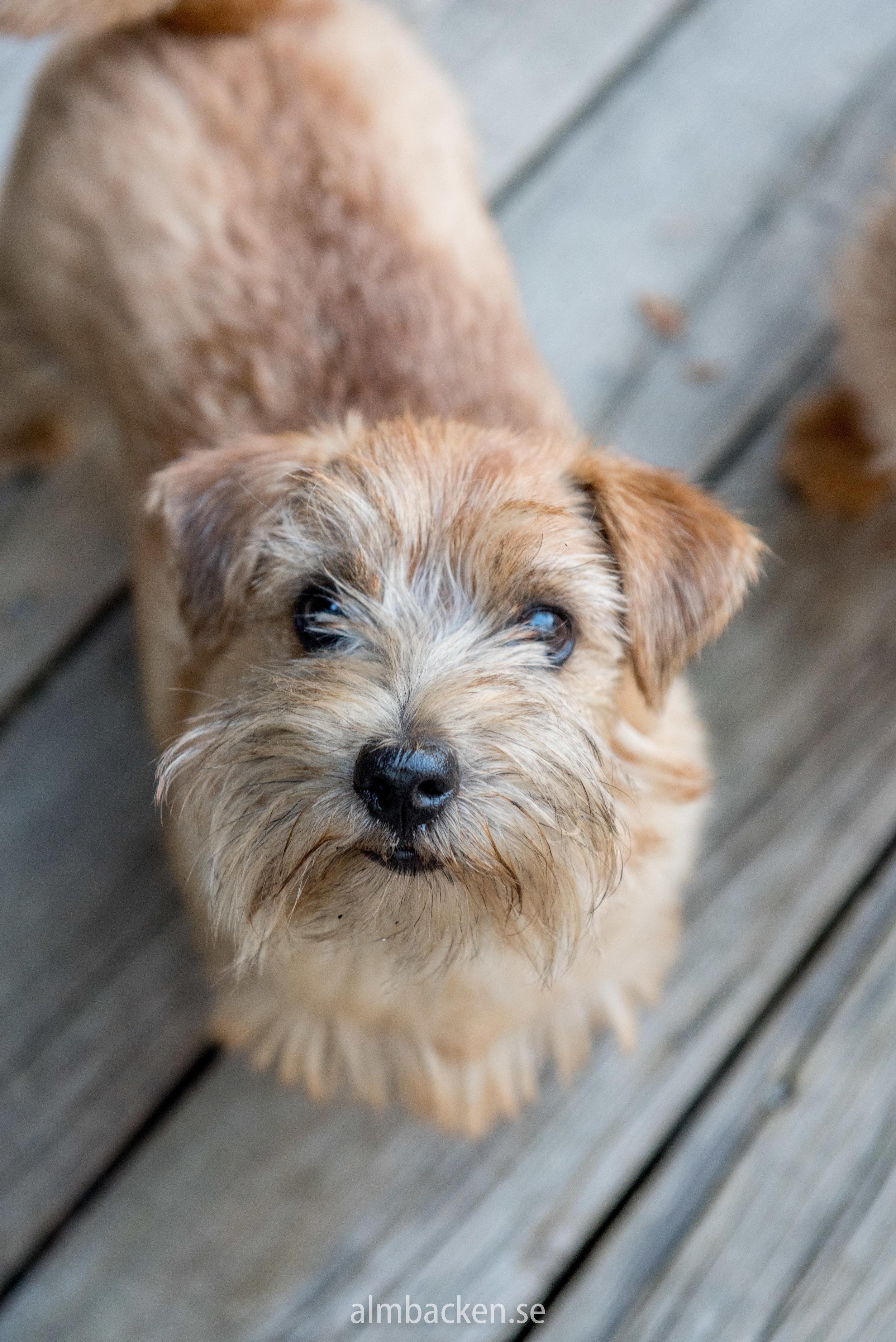Peggy-Norfolkterrier-terrier.jpg