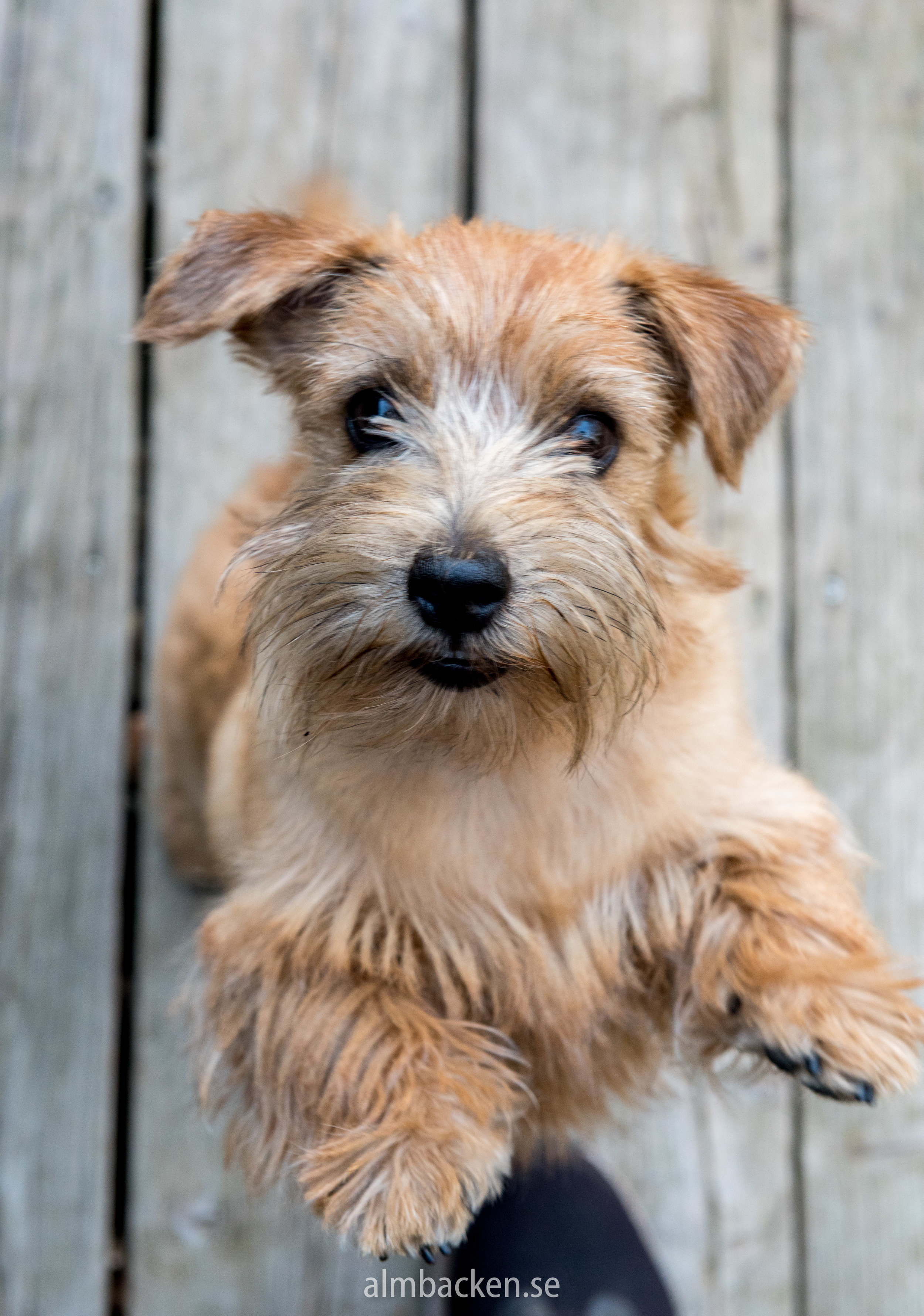 Peggy-Norfolkterrier-terrier