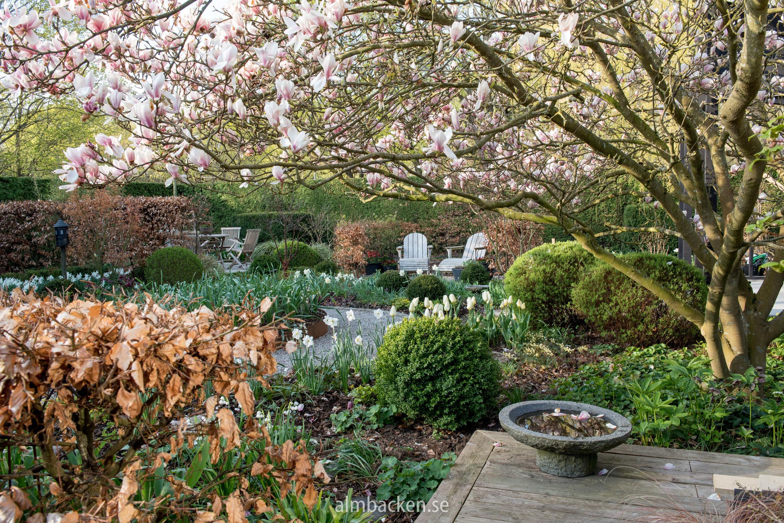 magnolia-tulipa-purissima-almbacken-tradgardsdesign.jpg