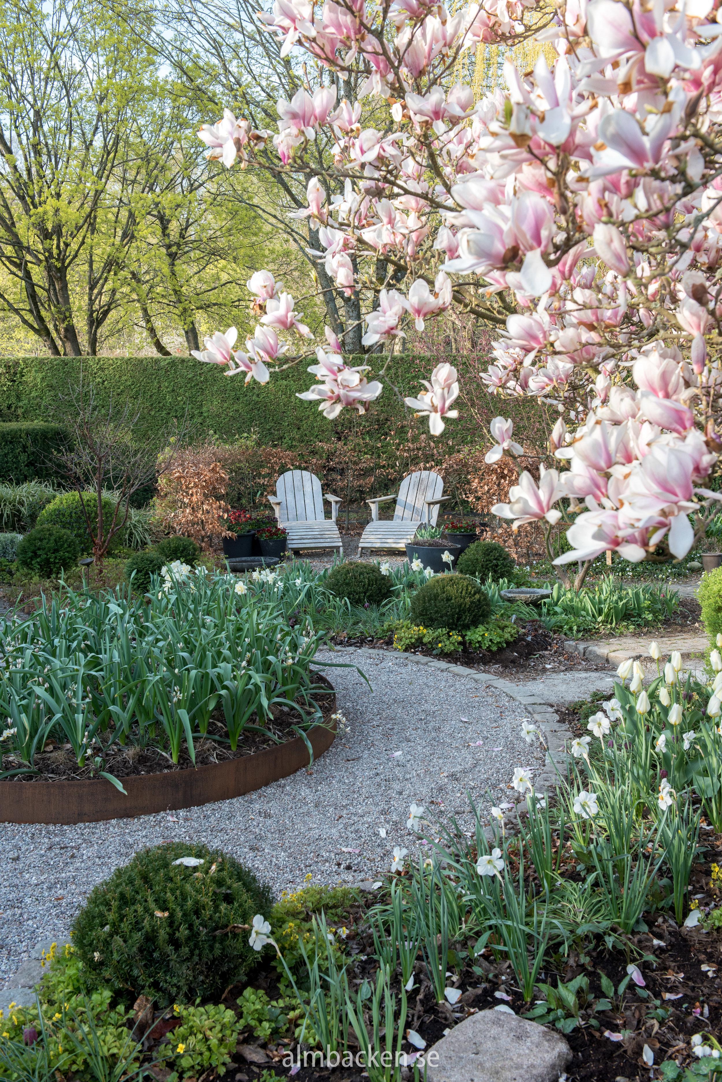 magnolia-soulangeana-almbacken-tradgardsdesignjpg