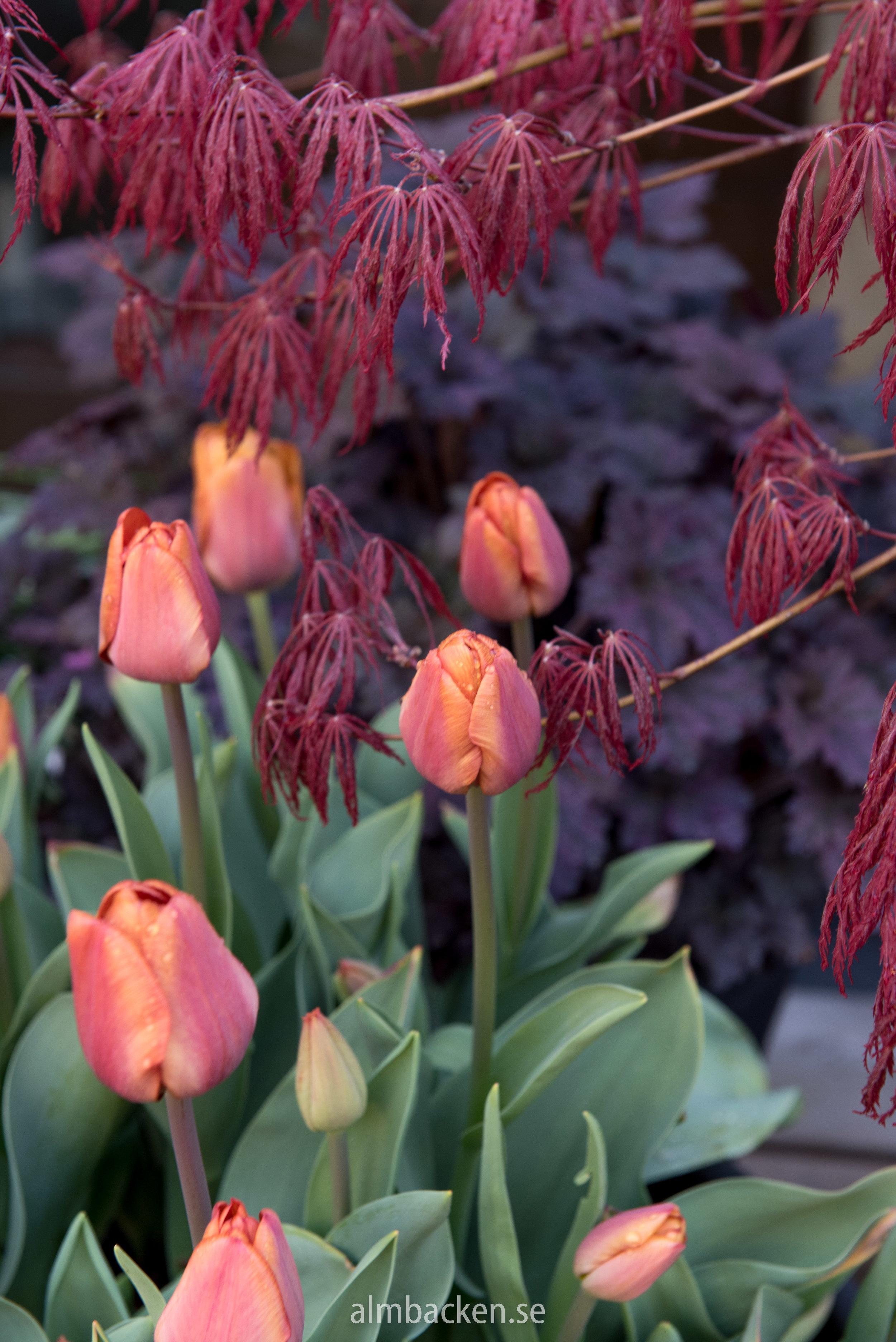 tulipa-cairo-tulpan-almbacken-tradgardsdesign.jpg