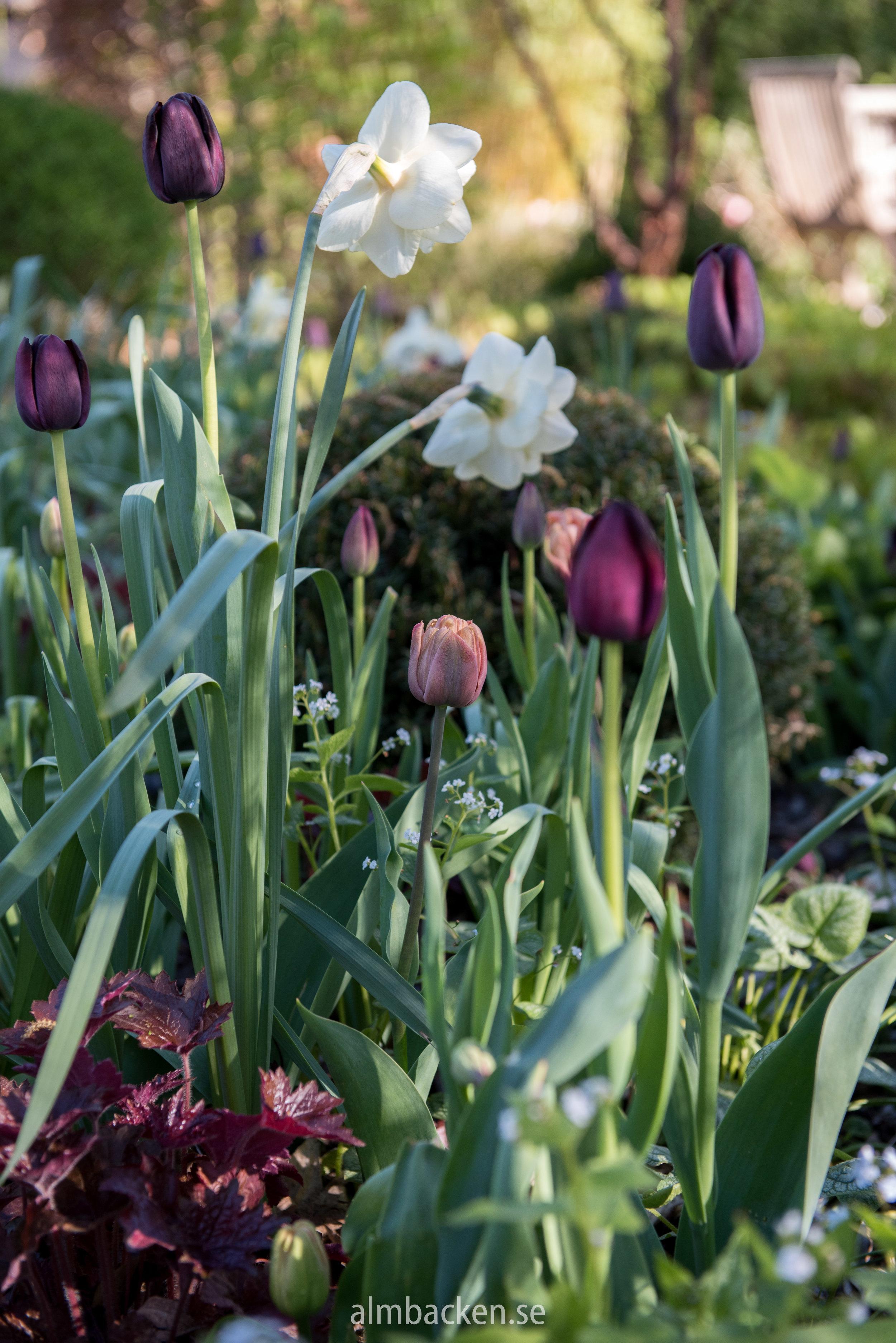 tulipa-la-belle-epoque.jpg