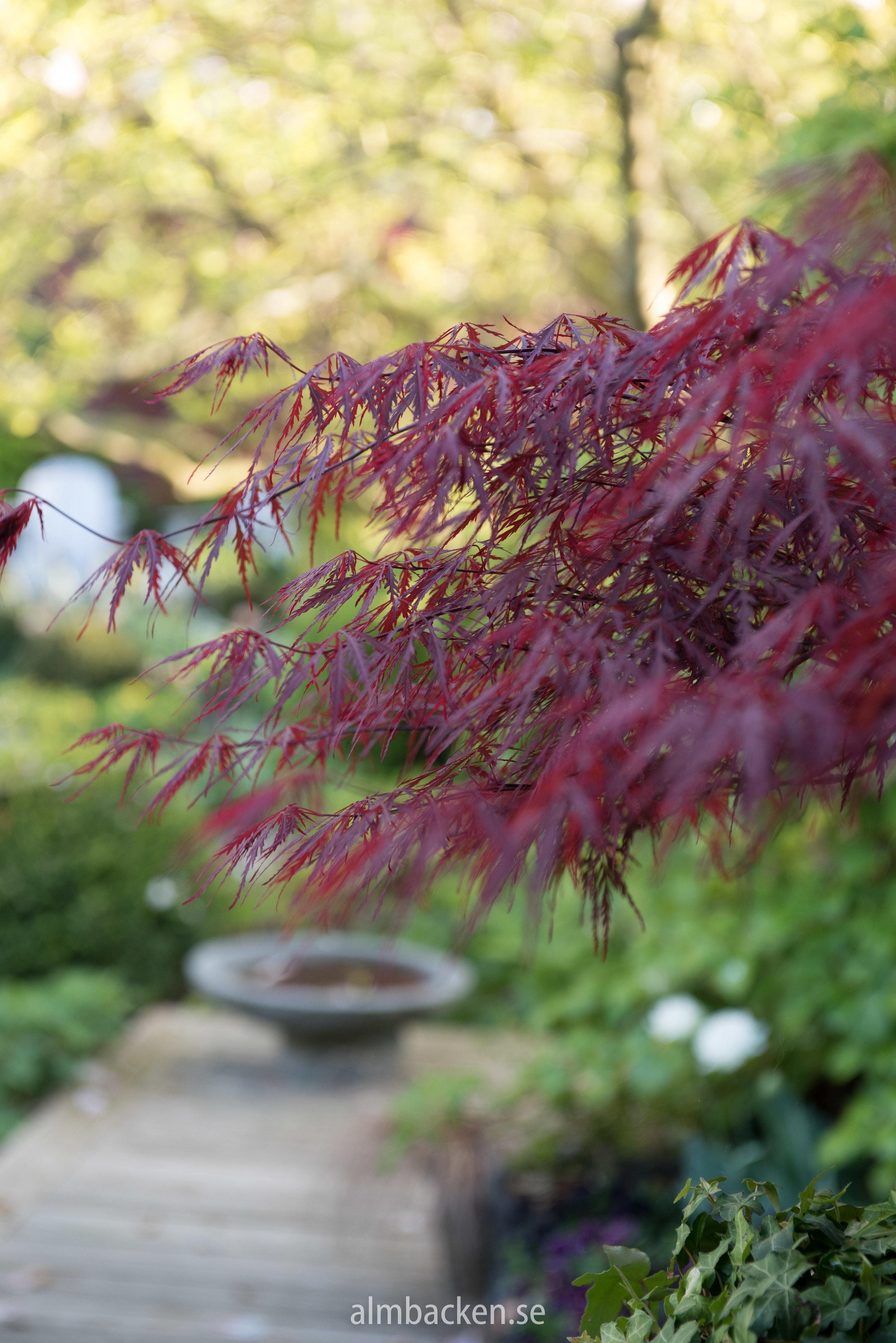 japansk-lonn-acer-palmatum-dissectum-garnet-krukor-almbacken-tradgardsdesign.jpg