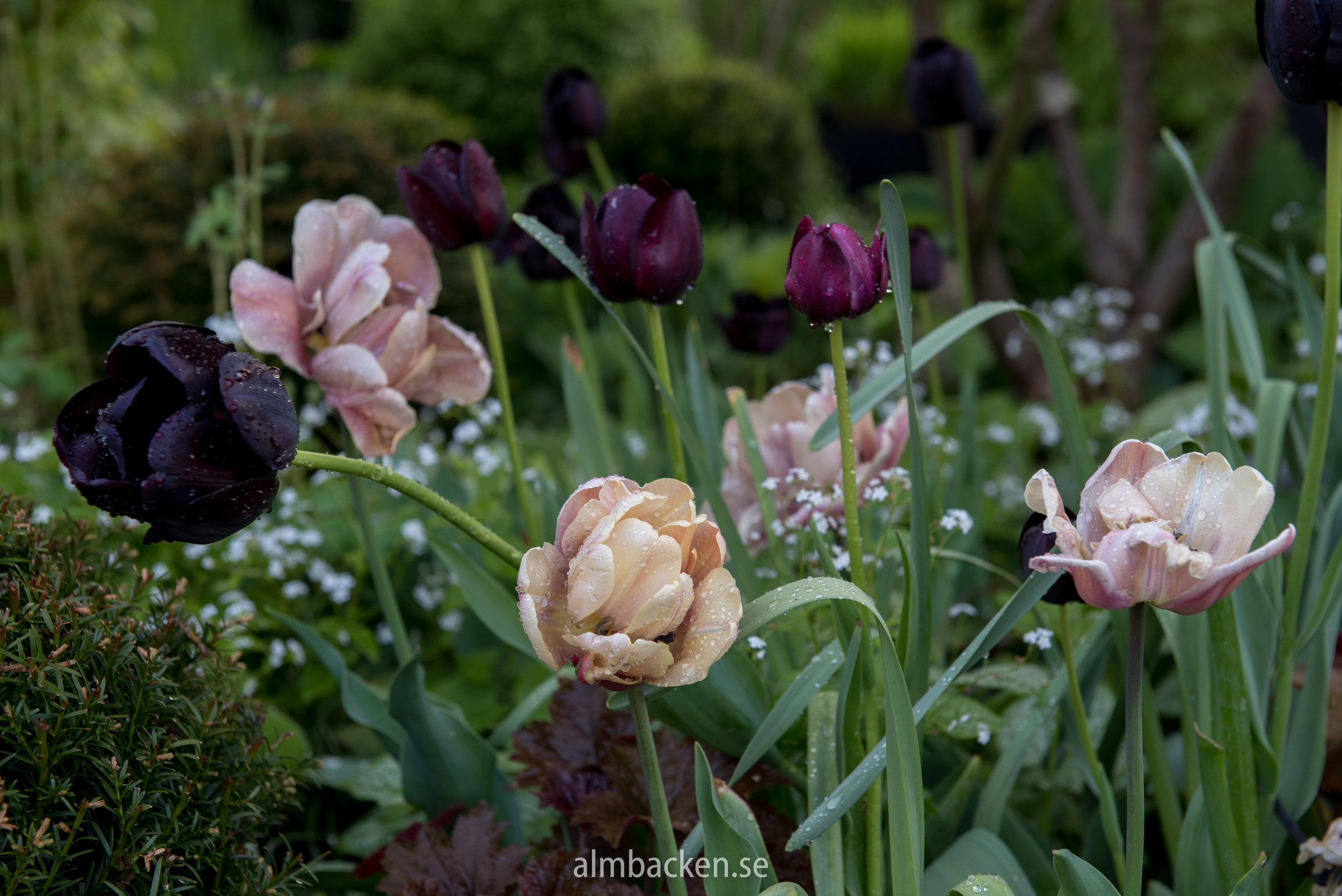 almbacken-tradgardsdesign-tulipa-la-belle-epoque-paul-scherer.jpg