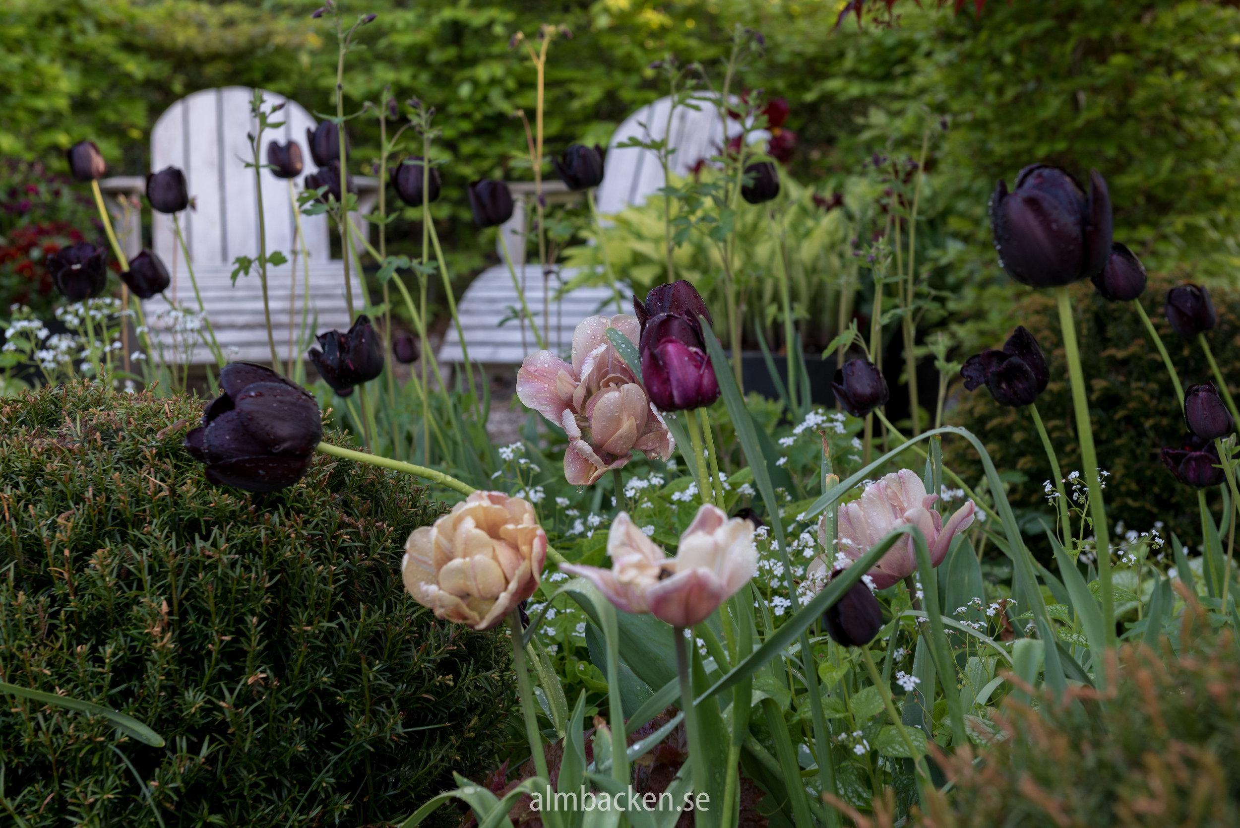 Tulipa-la-belle-epoque-paul-scherer-almbacken-tradgardsdesign.jpg