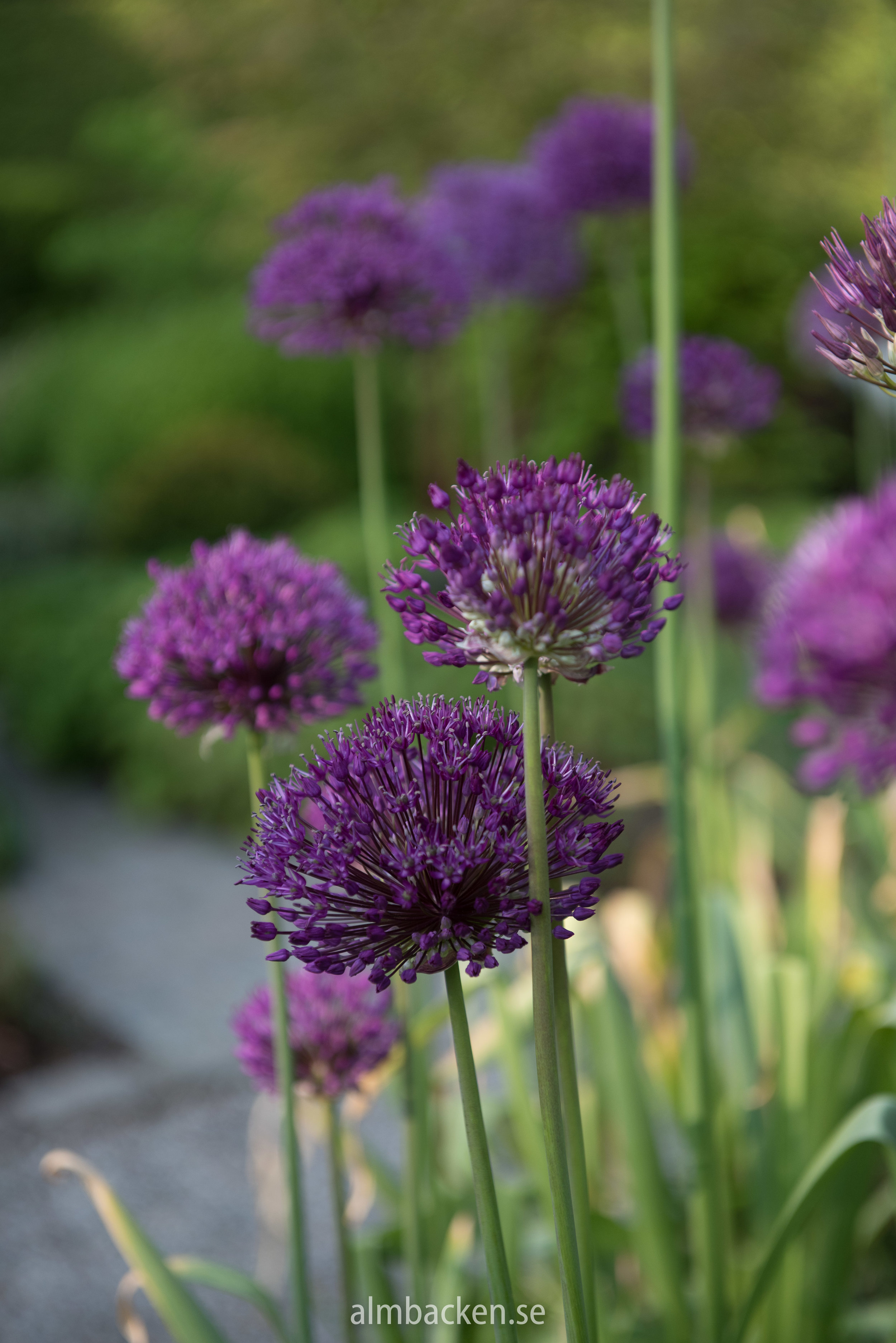 Allium-purple-sensation-almbacken.jpg