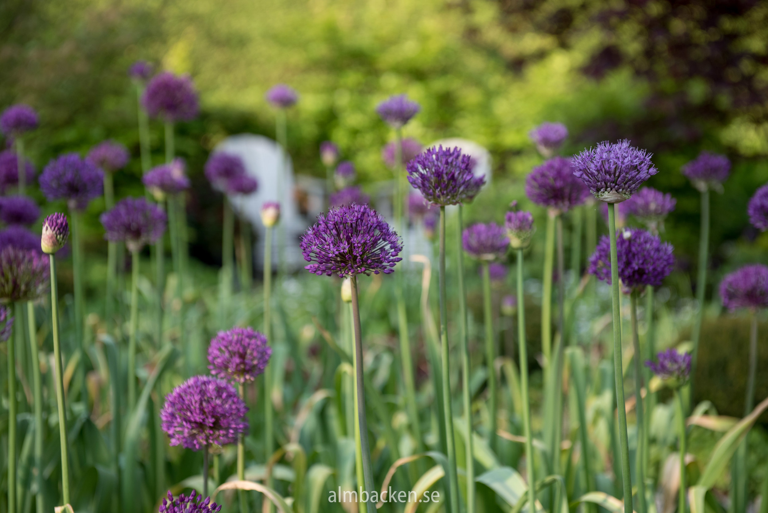 allium-purple-sensation.jpg