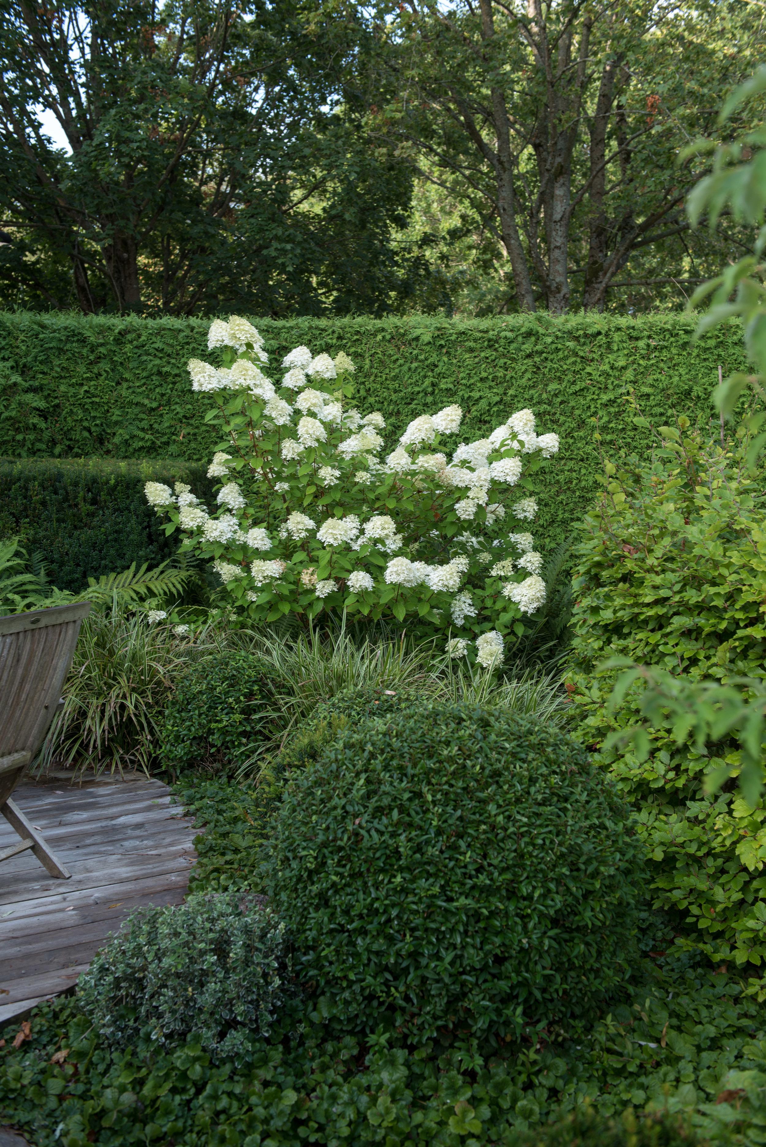 Hydrange paniculata 'Limelight'