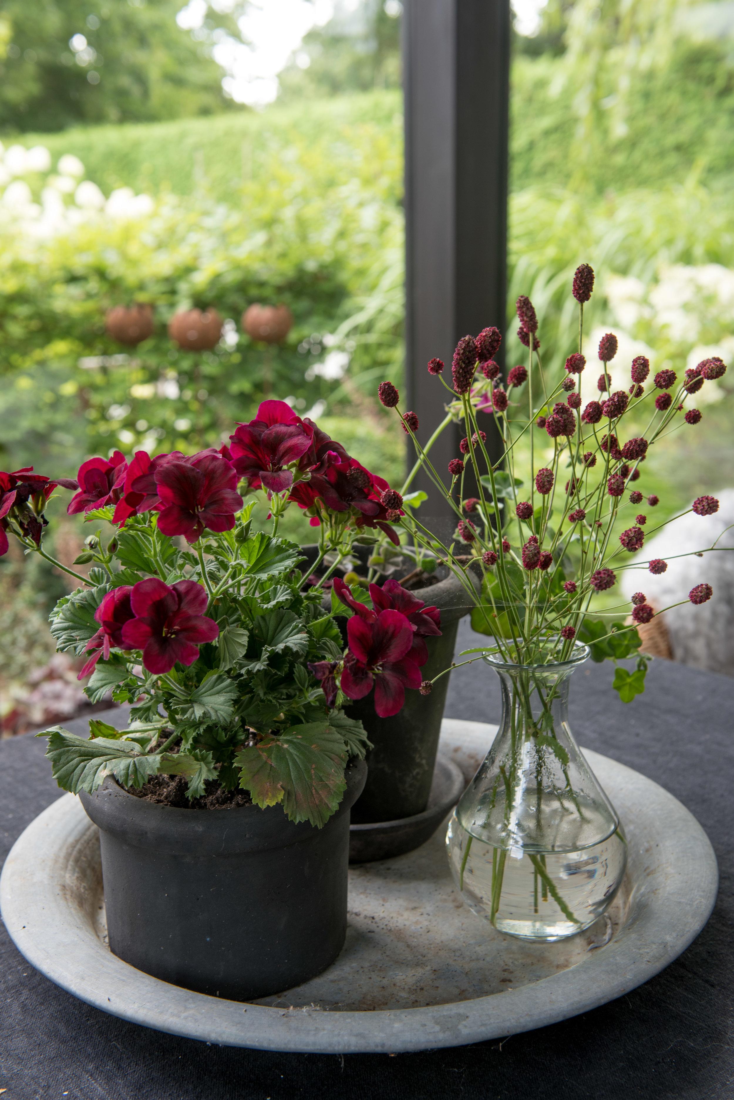 engelsk-pelargon-vaxthus-orangeri-almbacken.jpg
