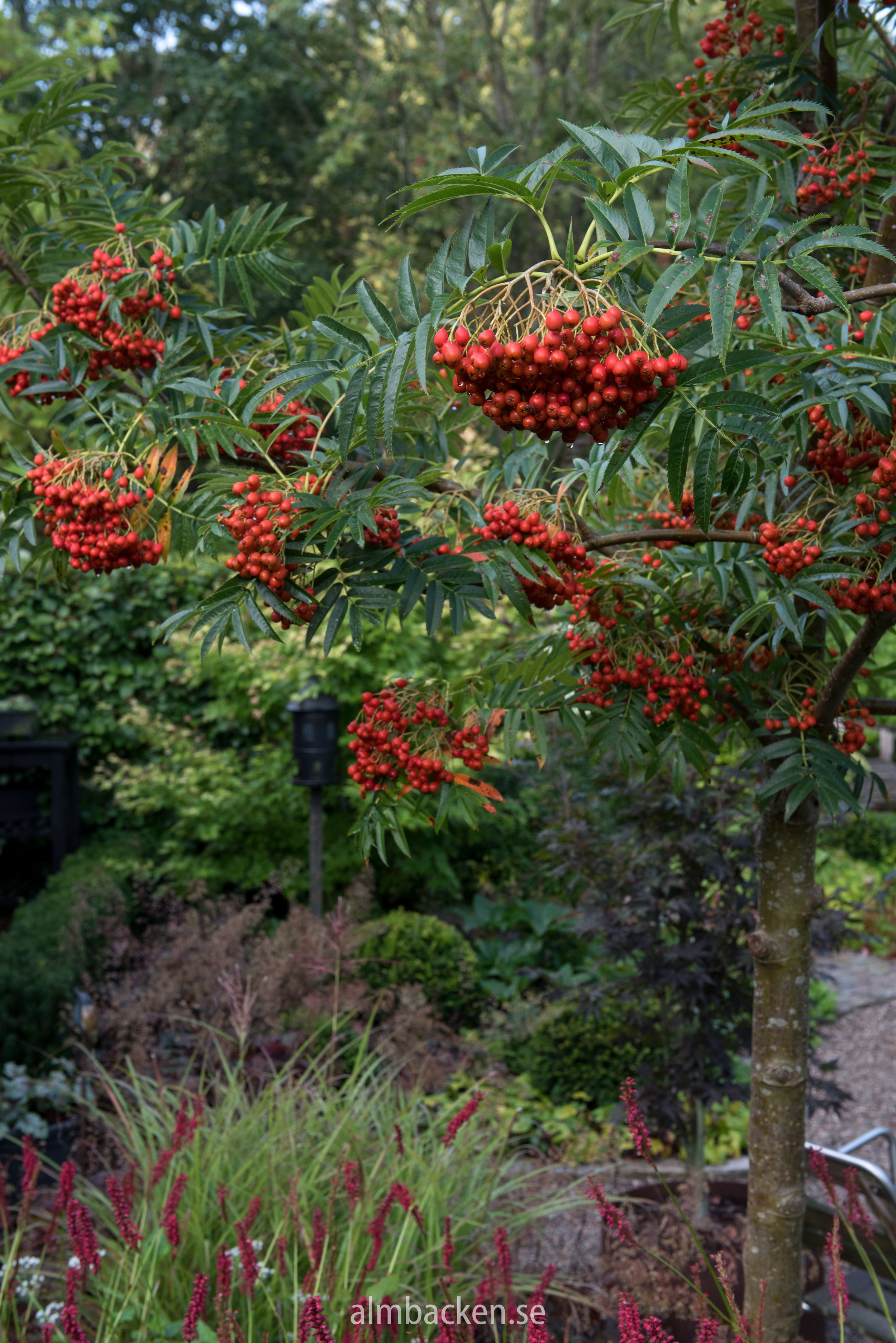 Sorbus ulleungensis 'Dodong'