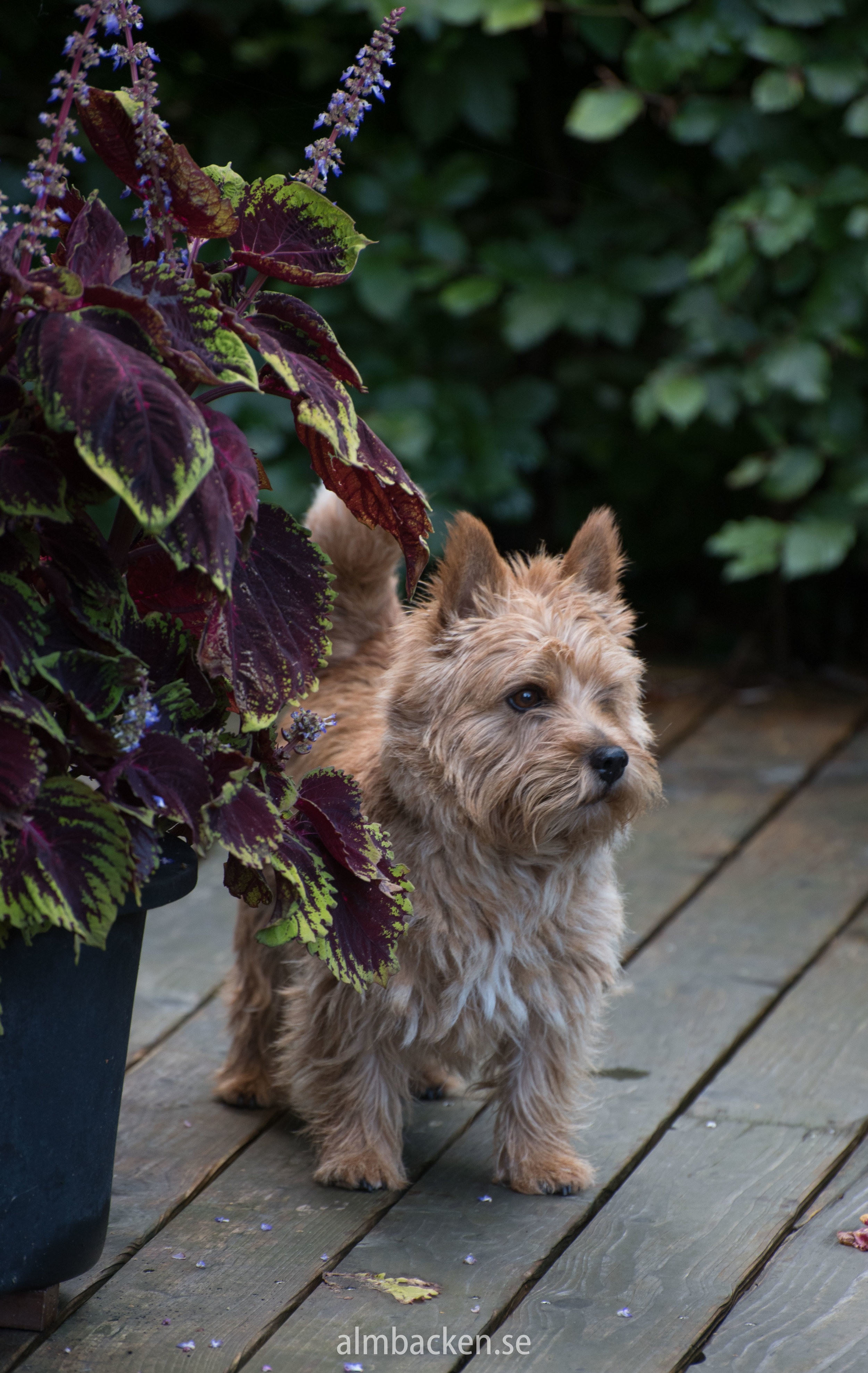 Myran the Norwichterrier