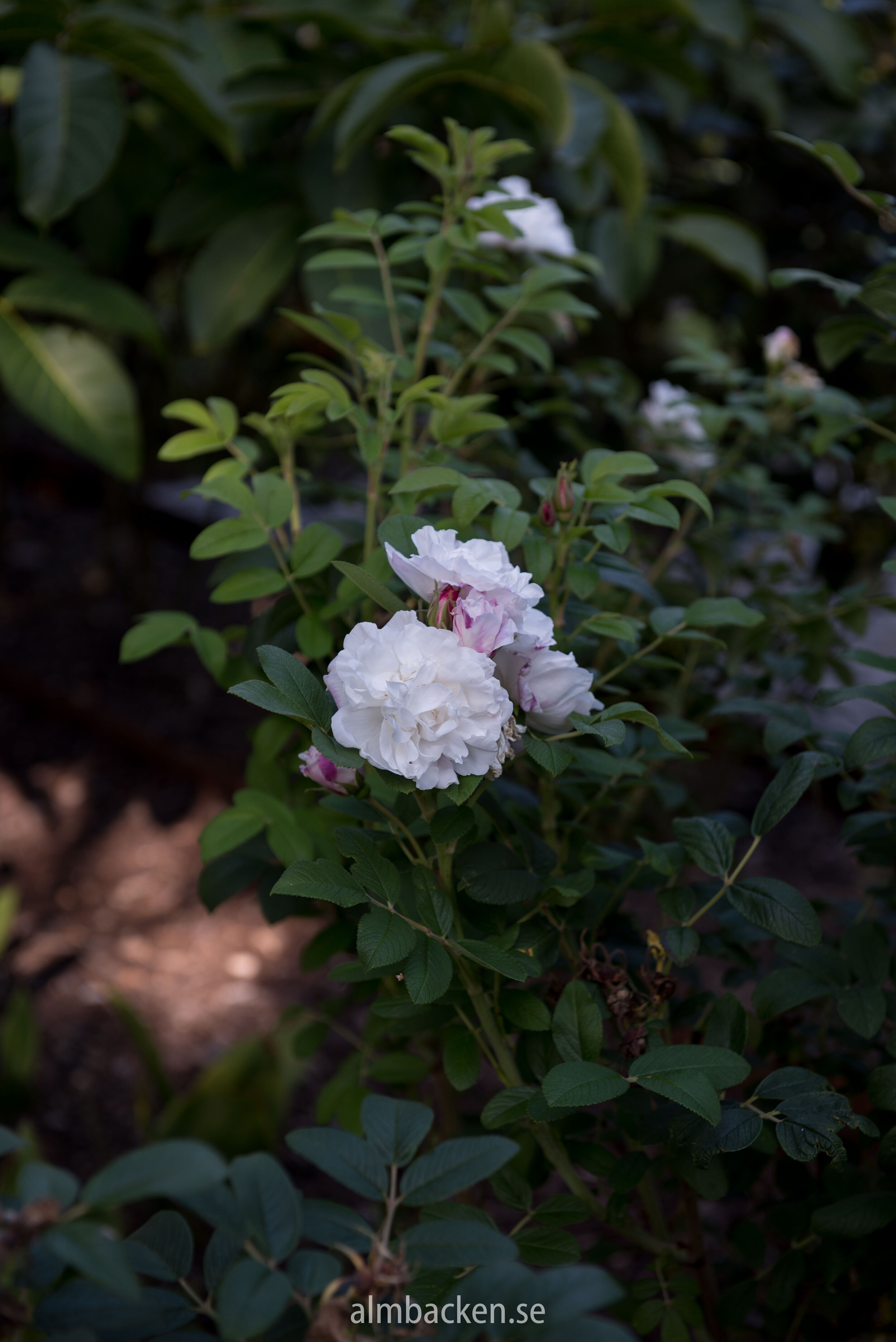 Rosa rugosa 'Louise Bugnet'