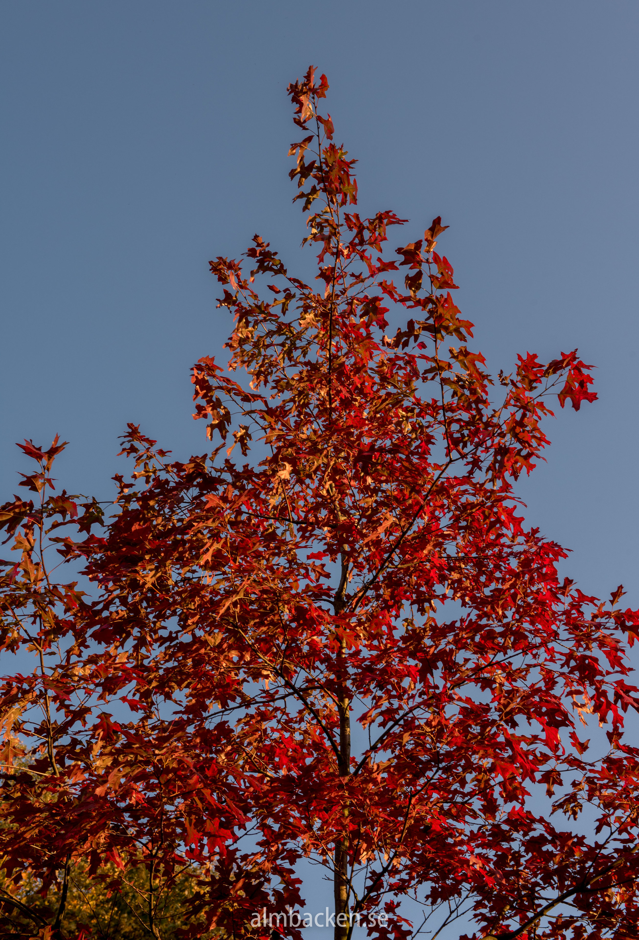 Scharlakansek (Quercus Coccinea)