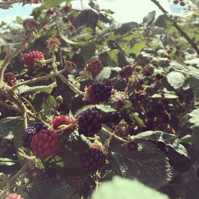 Wild food in London: Afternoon snack while cycling from way up north to way down south  #wildfood  #blackberry  #straightinmymouth  #foodeverywhere  #fresh  #freshfood