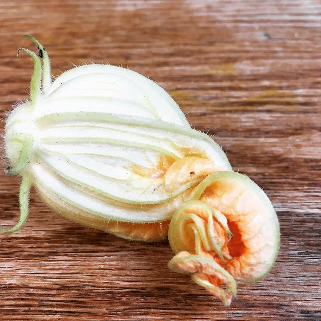 Beautiful curled up courgette flower straight from my 'farm'  #natureisbeautiful  #courgetteflowers  #homegrown #hyperlocalfood  #organic