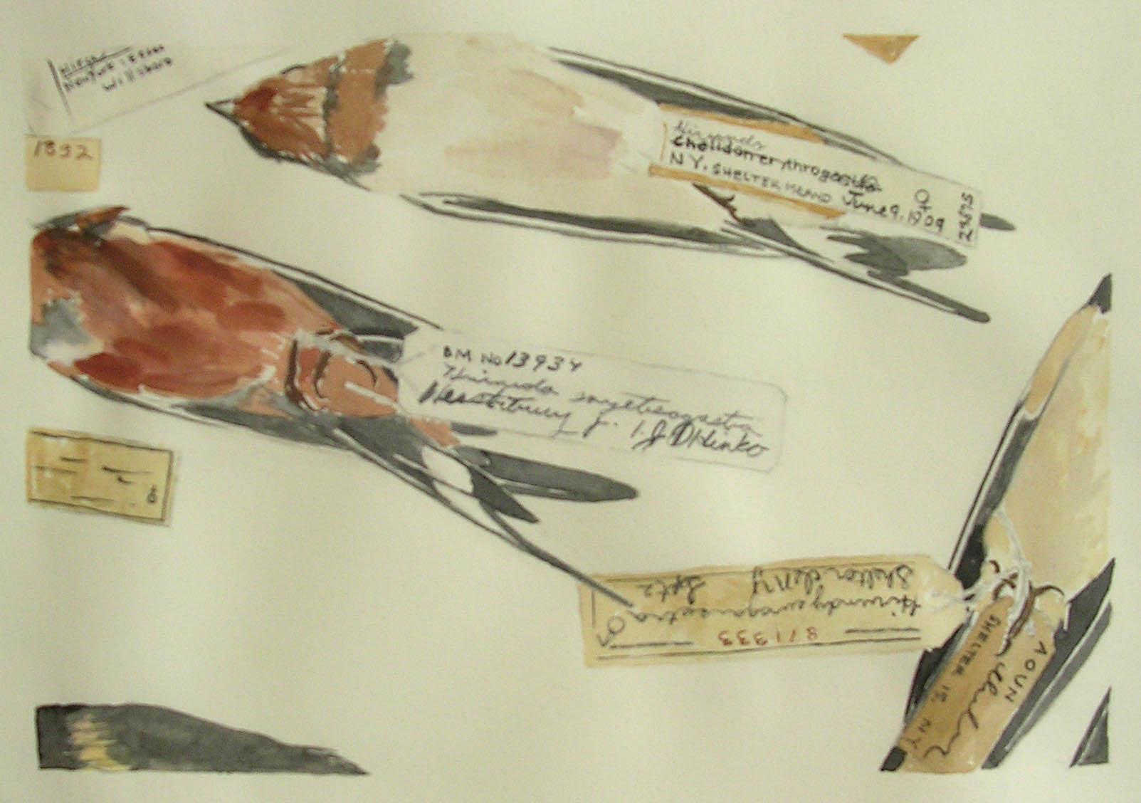Five Barn Swallows 2.jpg