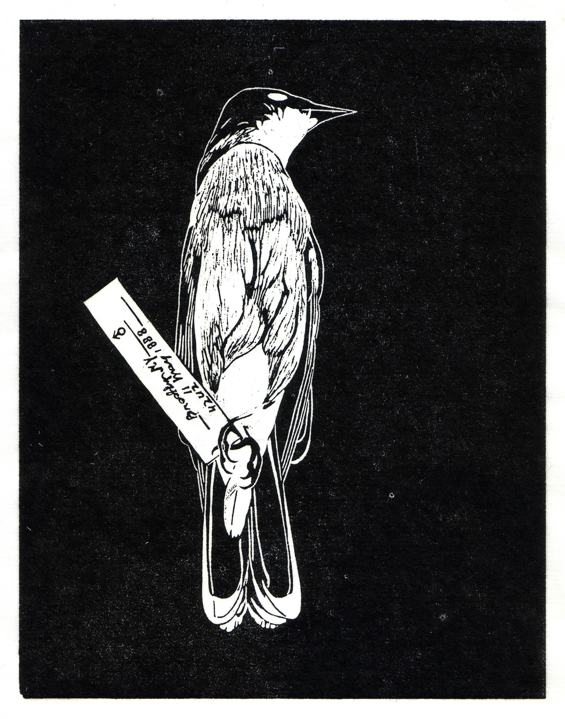 Kingbird.jpg