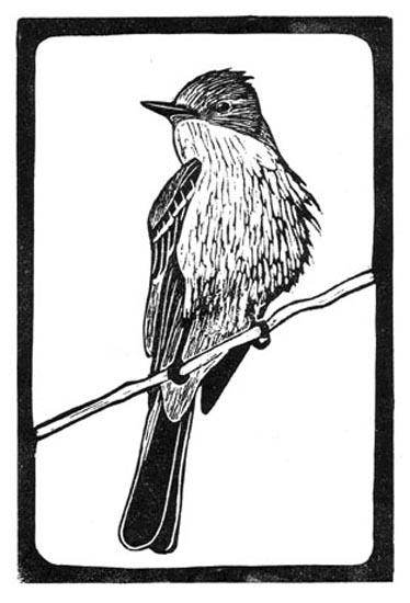 Flycatcher - Ash Throated.jpg
