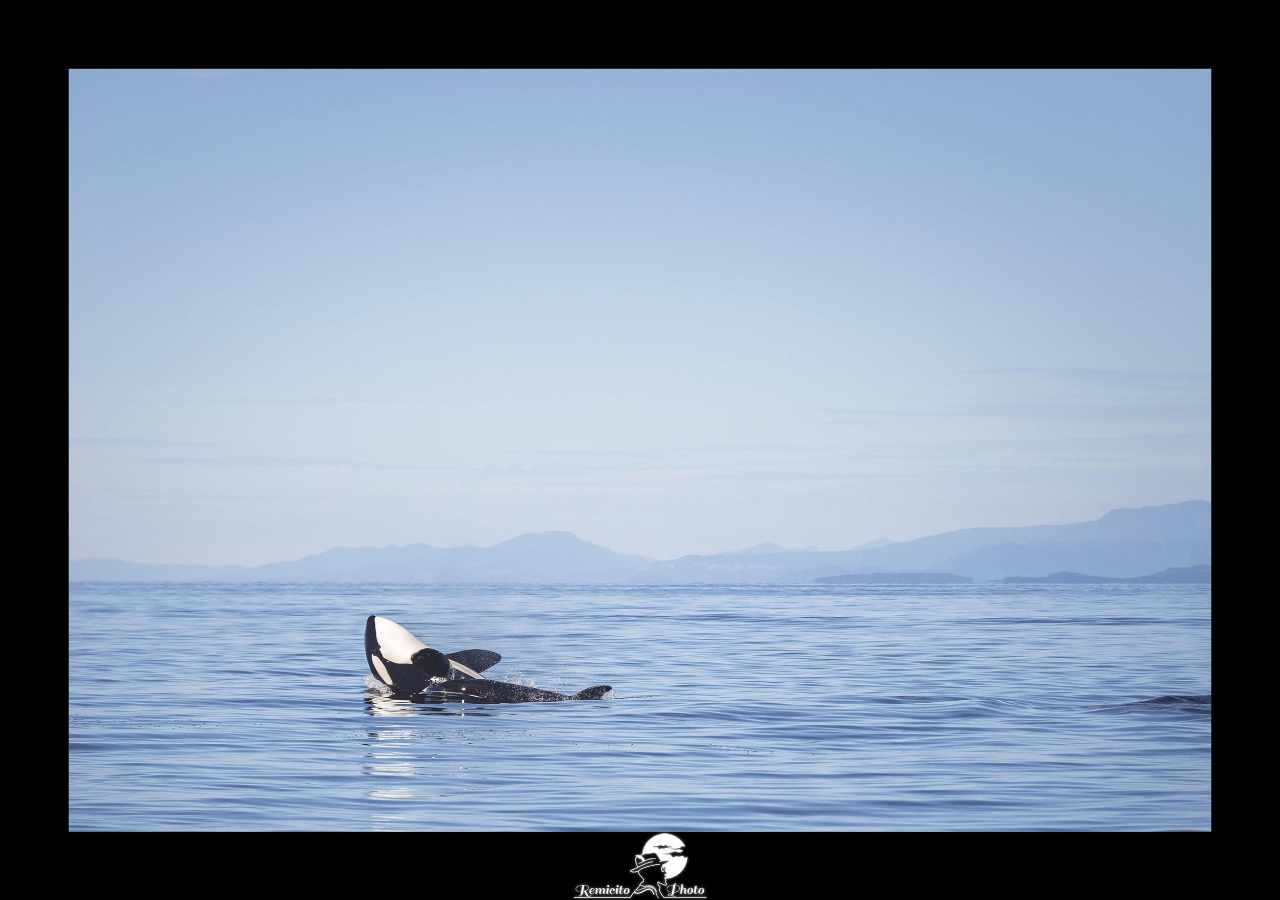 remicito photo, image du jour, photo du jour, photo of the day, voyage vancouver, orque canada, whale watching, landscape photography vancouver island, orques saut île de Vancouver, belle photo, idée cadeau, idée déco