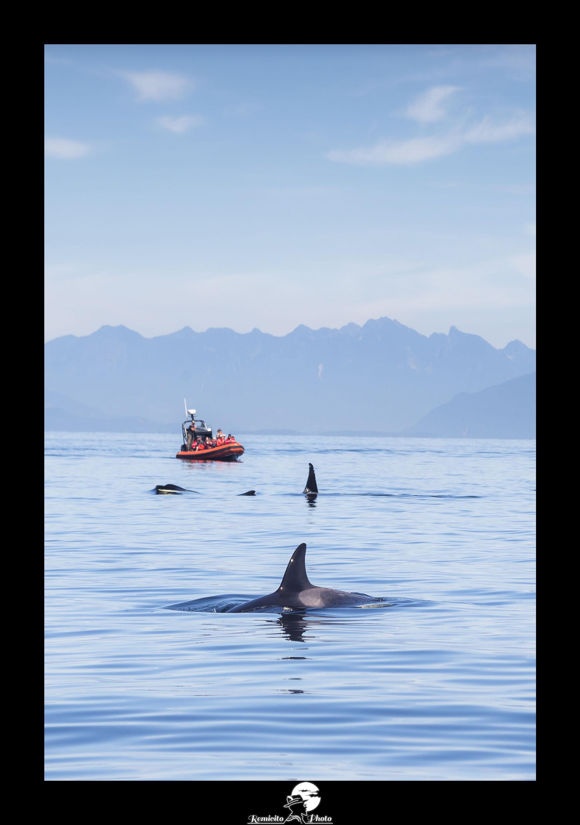 remicito photo, image du jour, photo du jour, photo of the day, meilleur photographe, français, best french photographer, photo orque canada, killer whale canada, vancouver island killer whale