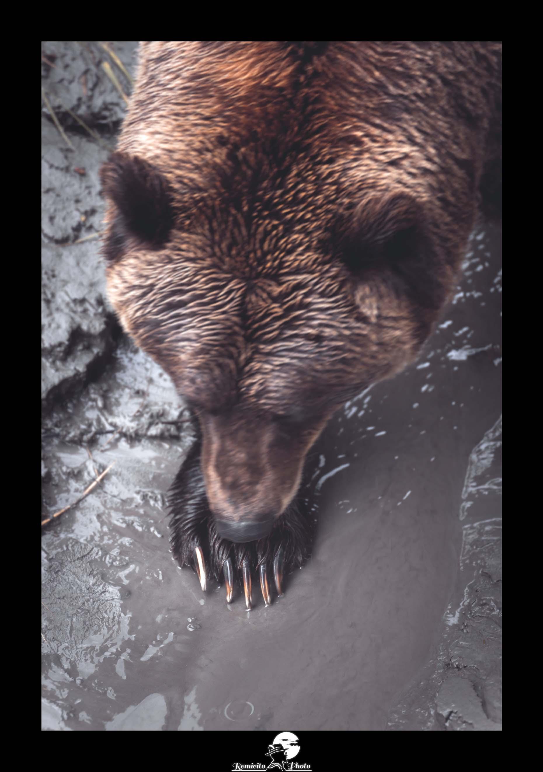remicito photo, remicito, image du jour, photo du jour, remicito photographe français, belle photo ours, grizzly alaska photo, griffes ours photo, bear alaska, belle photo idée cadeau ours