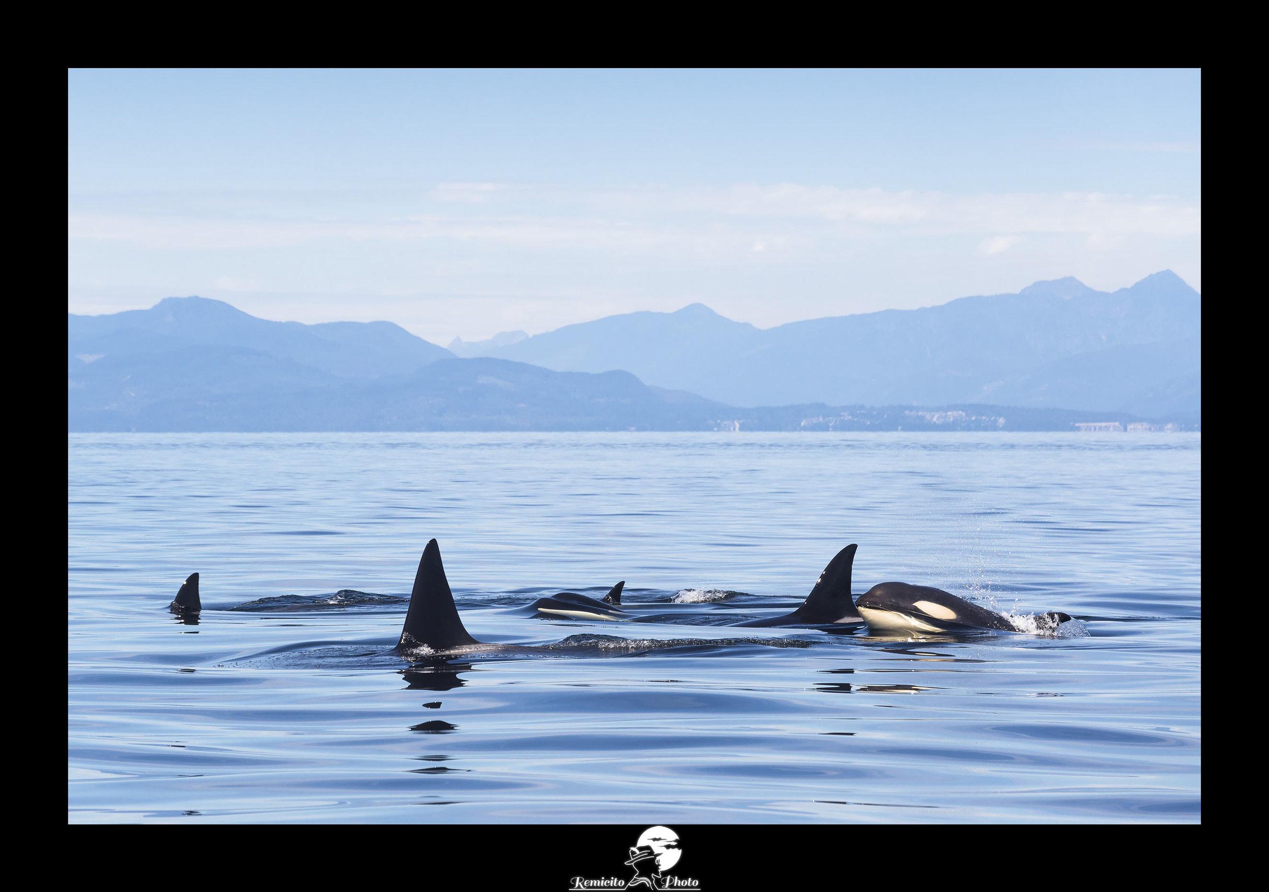 Remicito photo, remicito, image du jour, photo du jour, belle photo orques canada, orques ile de vancouver, belle photo idée cadeau orques, décoration belle photo cadeau