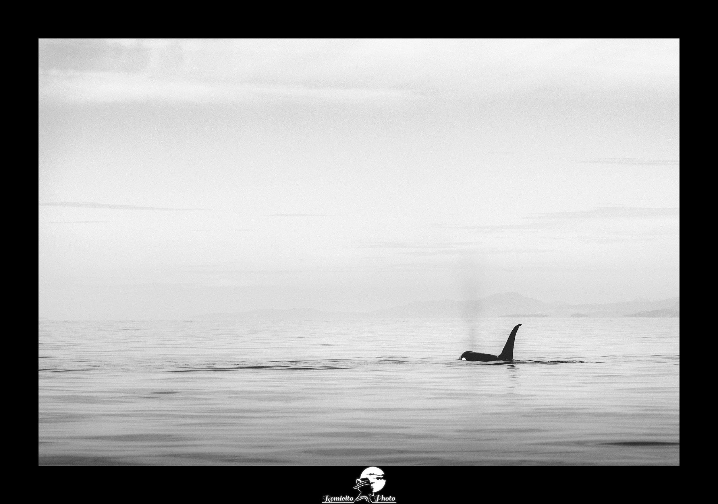 Remicito photo, remicito, image du jour, photo du jour, photo of the day, belle photo noir et blanc orques canada, orca canada cowichan bay, vancouver island orca, belle photo orque idée cadeau
