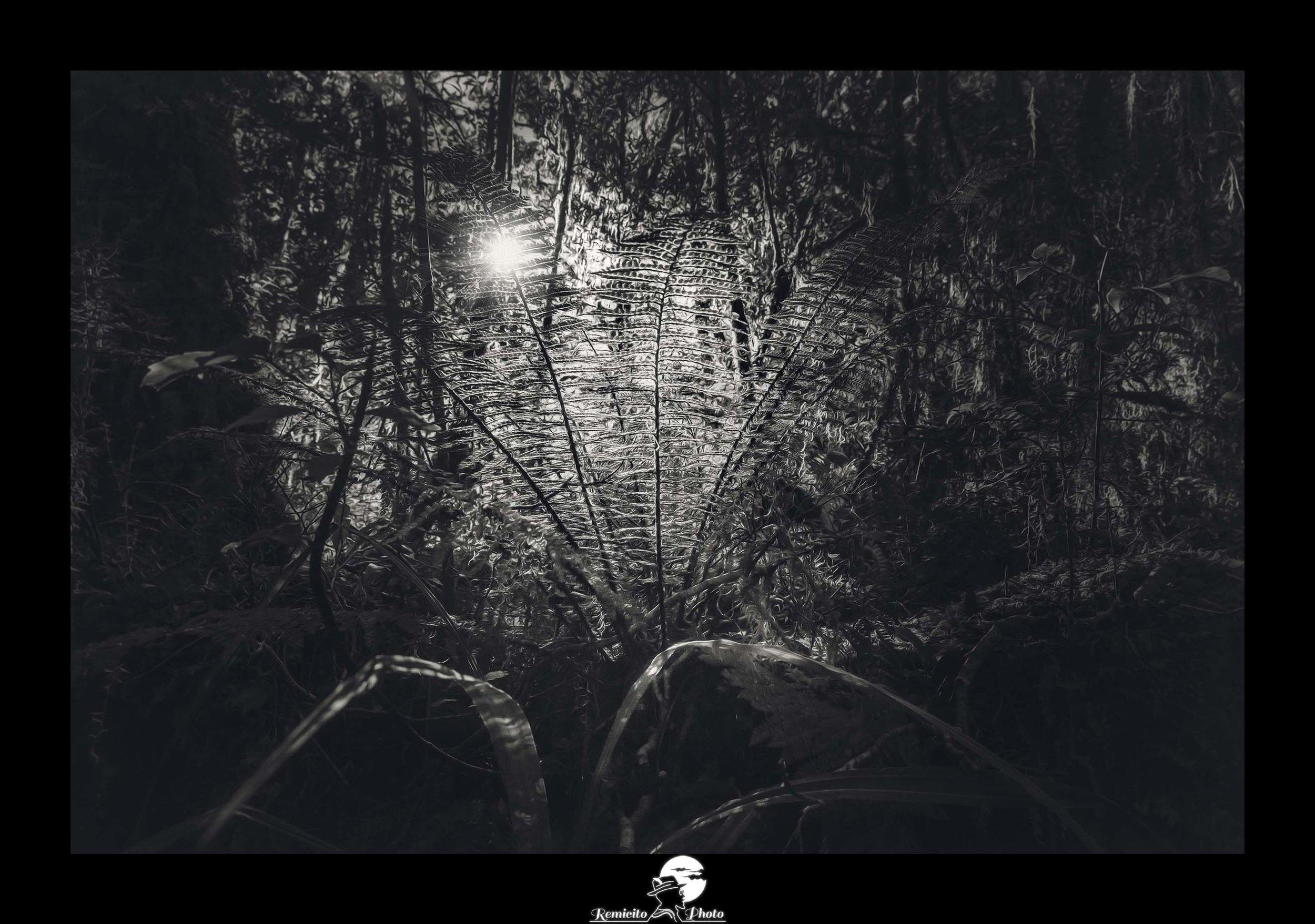 remicito photo, remicito rémi lacombe photographe paris, belle photo noir et blanc feuille fougère, photo fougère nouvelle zélande noir et blanc, idée cadeau belle photo nature forêt