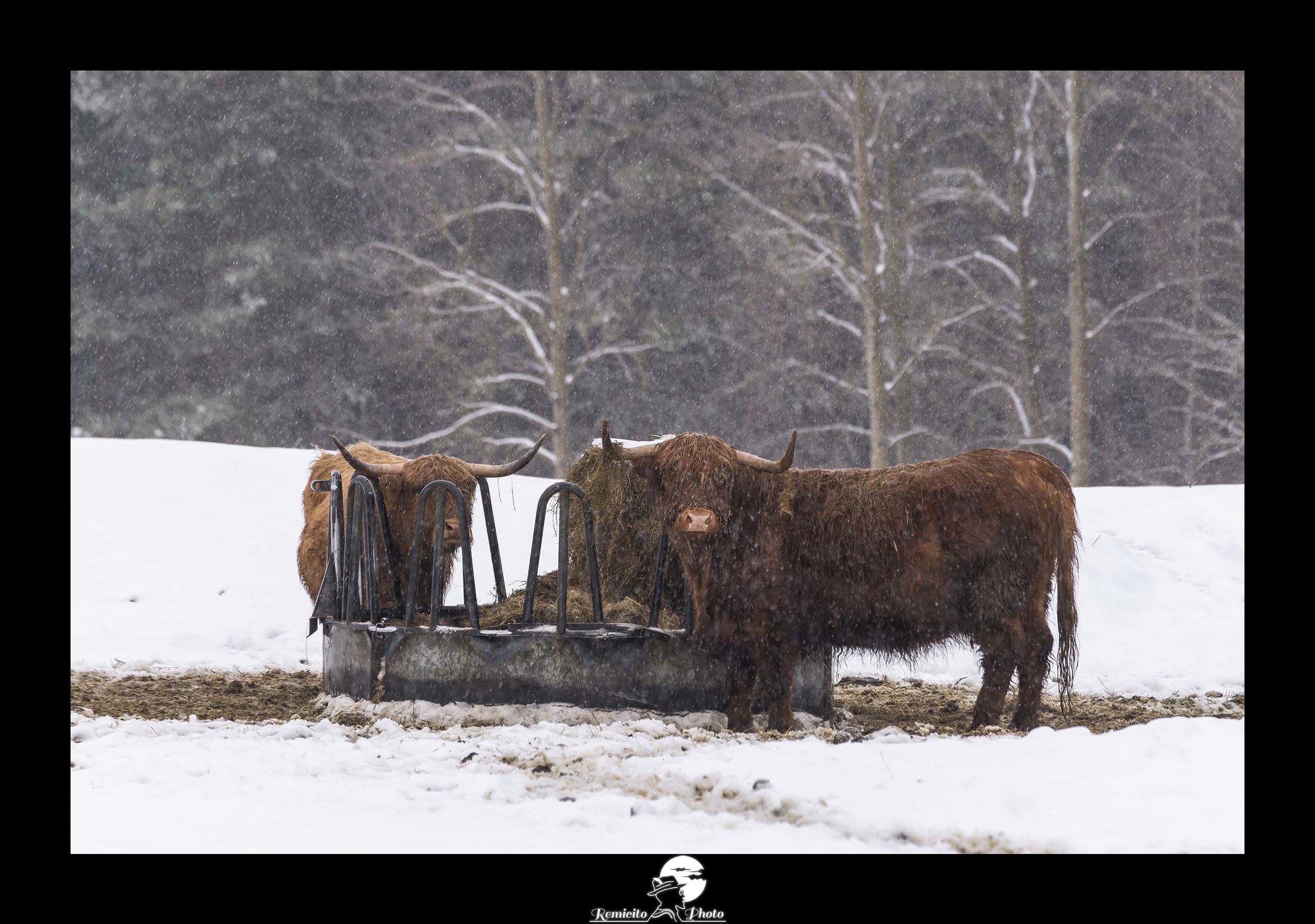 Remicito photo, remicito rémi lacombe photographe paris, belle photo boeuf ecossais, neige vache écossaise, idée cadeau photo vache