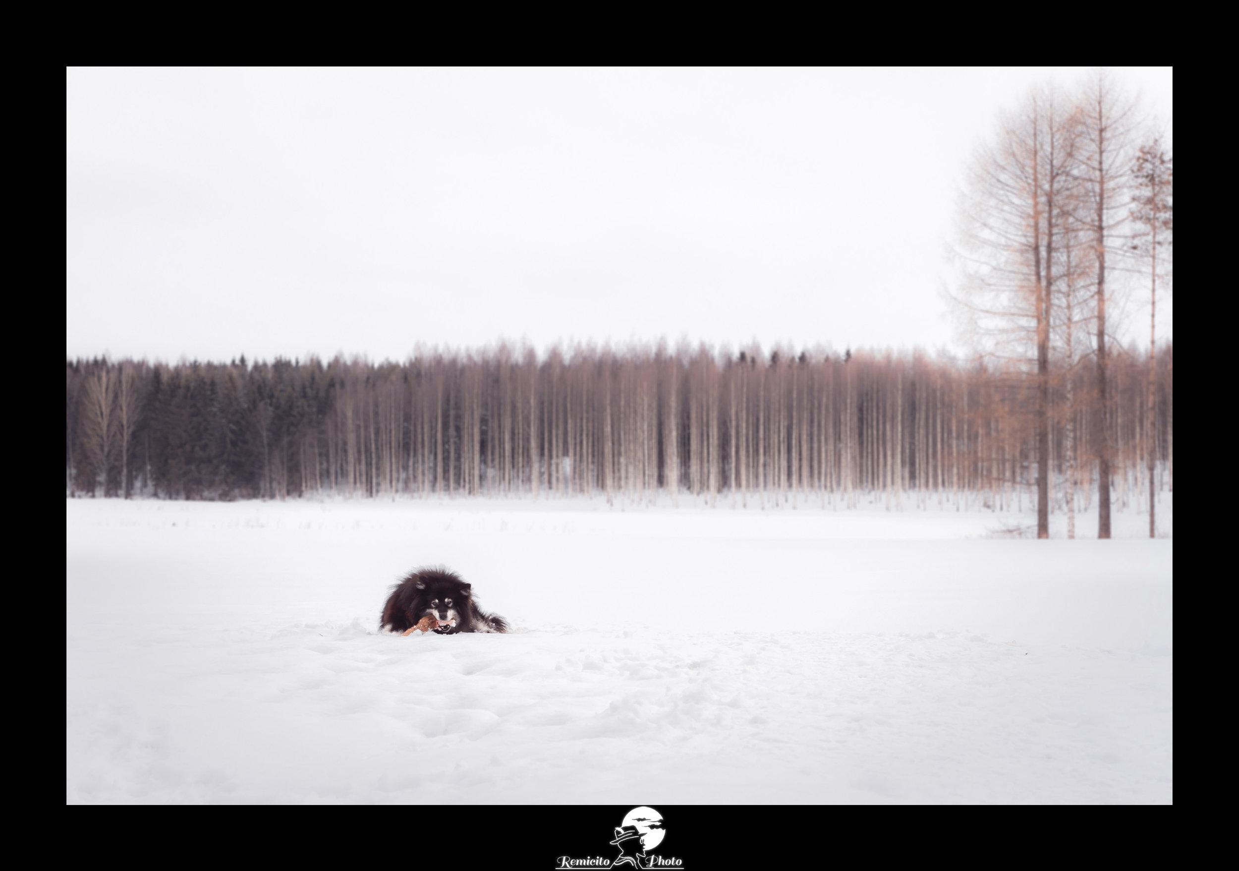 remicito, photoclub paris val-de-bièvre, remicito rémi lacombe, exposition paradis blanc, photo chien neige, belle photo chien idée cadeau, remicito photo chien finlande neige