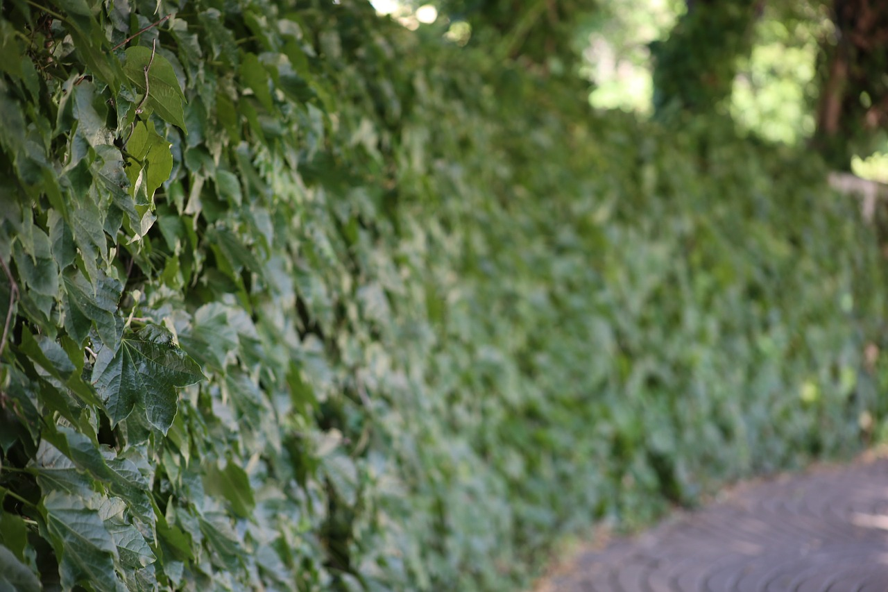 Not just privet   We're experienced in dealing with hedges of all types