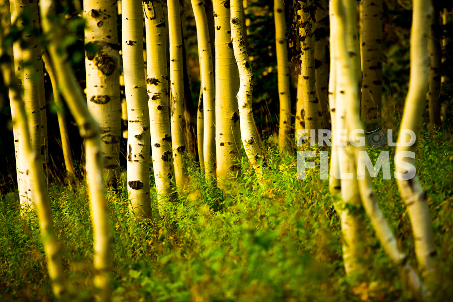 aspen-forest-steamboat