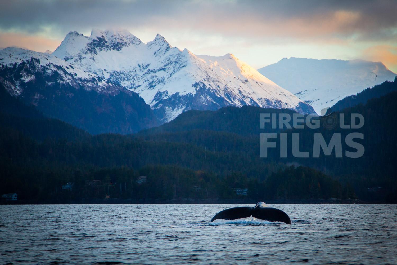 A Humpback Whale in Sitka Alaska