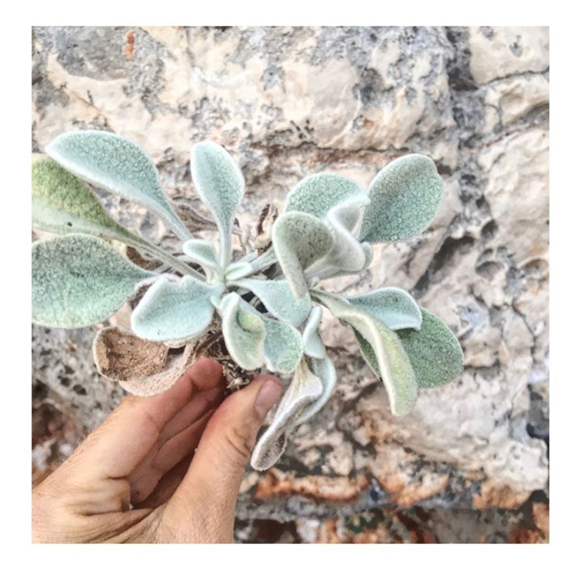Foraging in Greece - Sage.