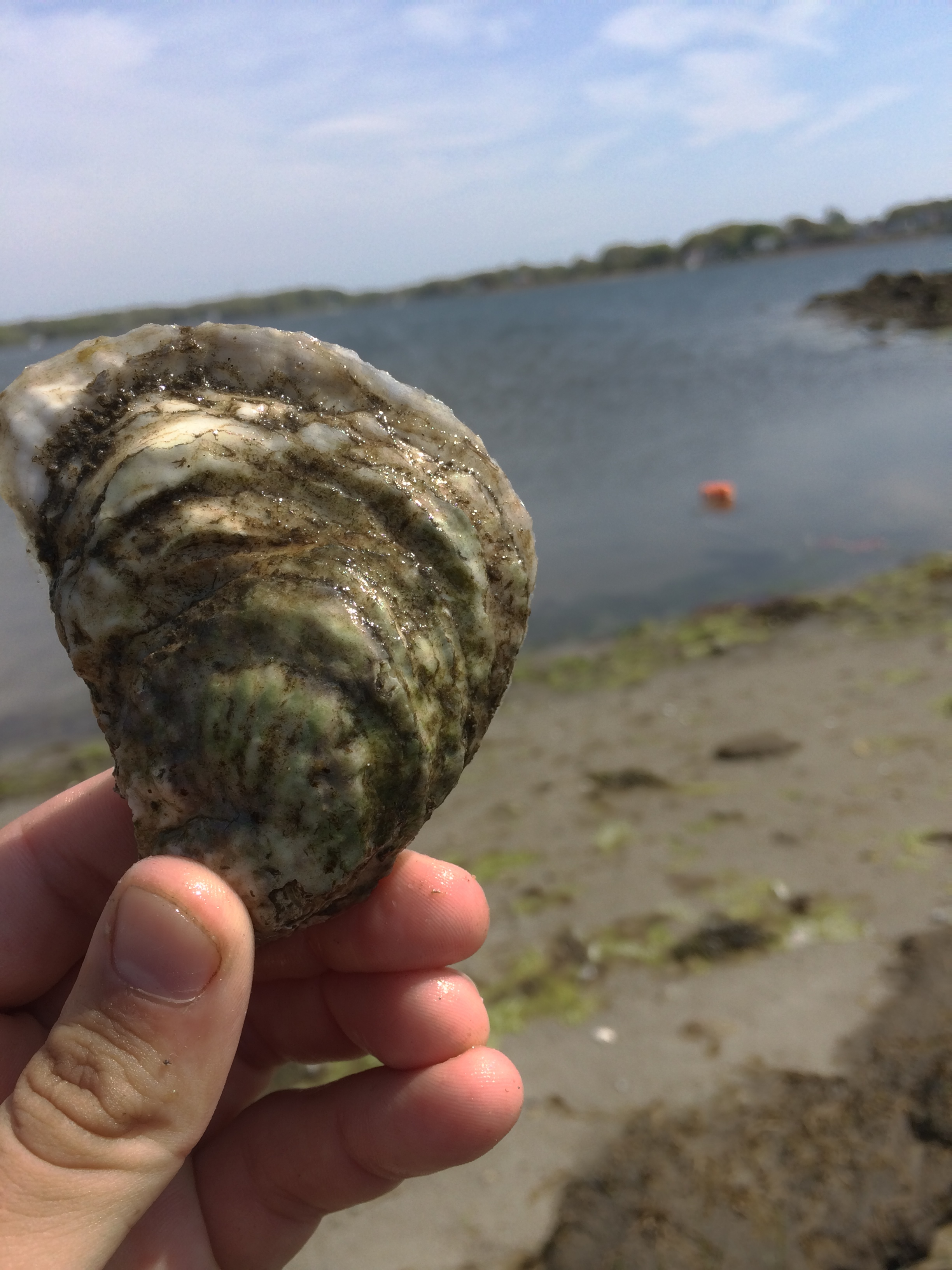 Stashed a few test oysters to see how they would fare. After 2 weeks the oyster had some notable growth (the white edge on the top is all new shell).