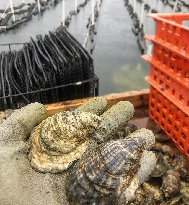 Cause we got O's from different area codes - two seed varieties seen here thatve gone through the same mackdaddy treatment on the RROC farm #oysters #farmtotable #sistahfromanothermistah #ludacris