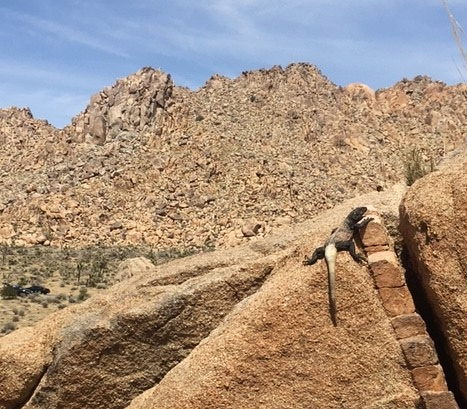 Charlie Bear spotted this Chuckwalla for us!