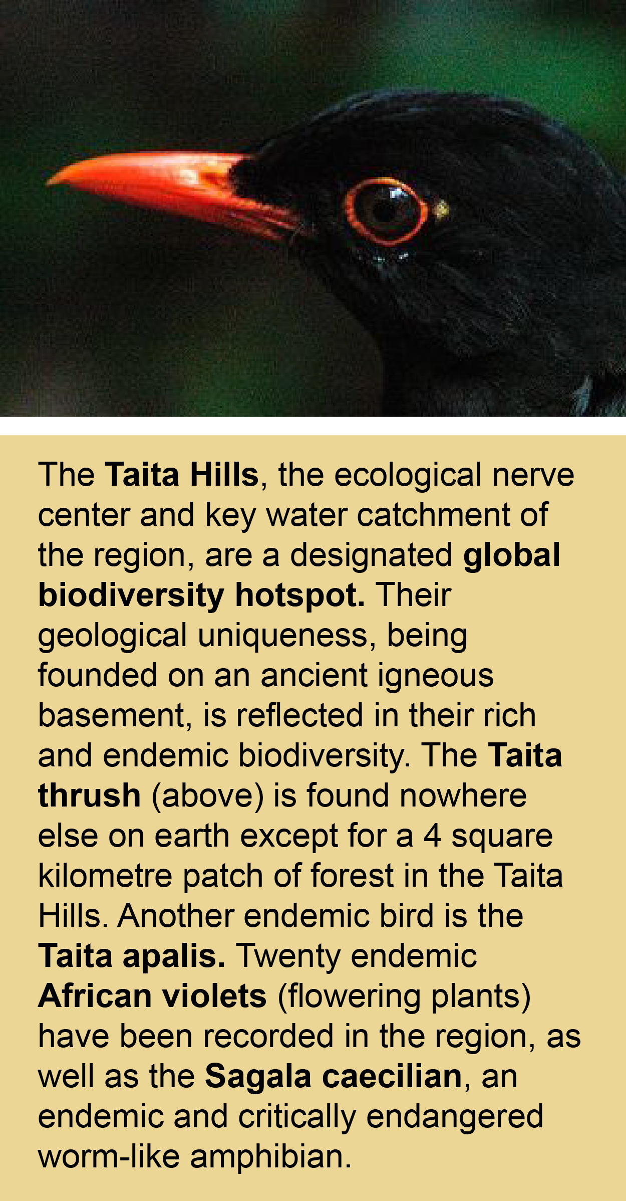 taita thrush endemic to taita hills kenya