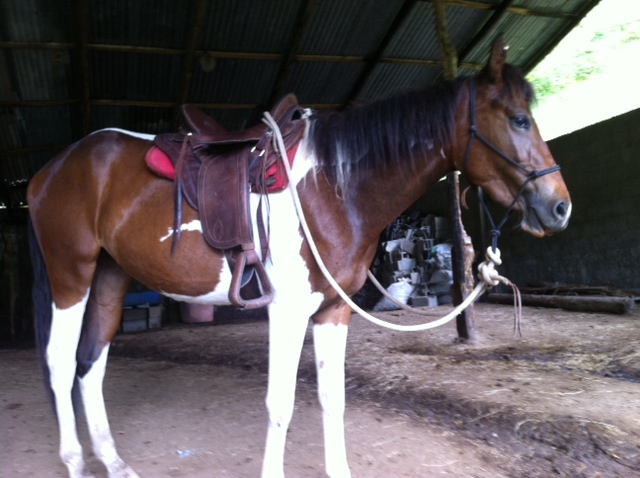 filly with first saddle