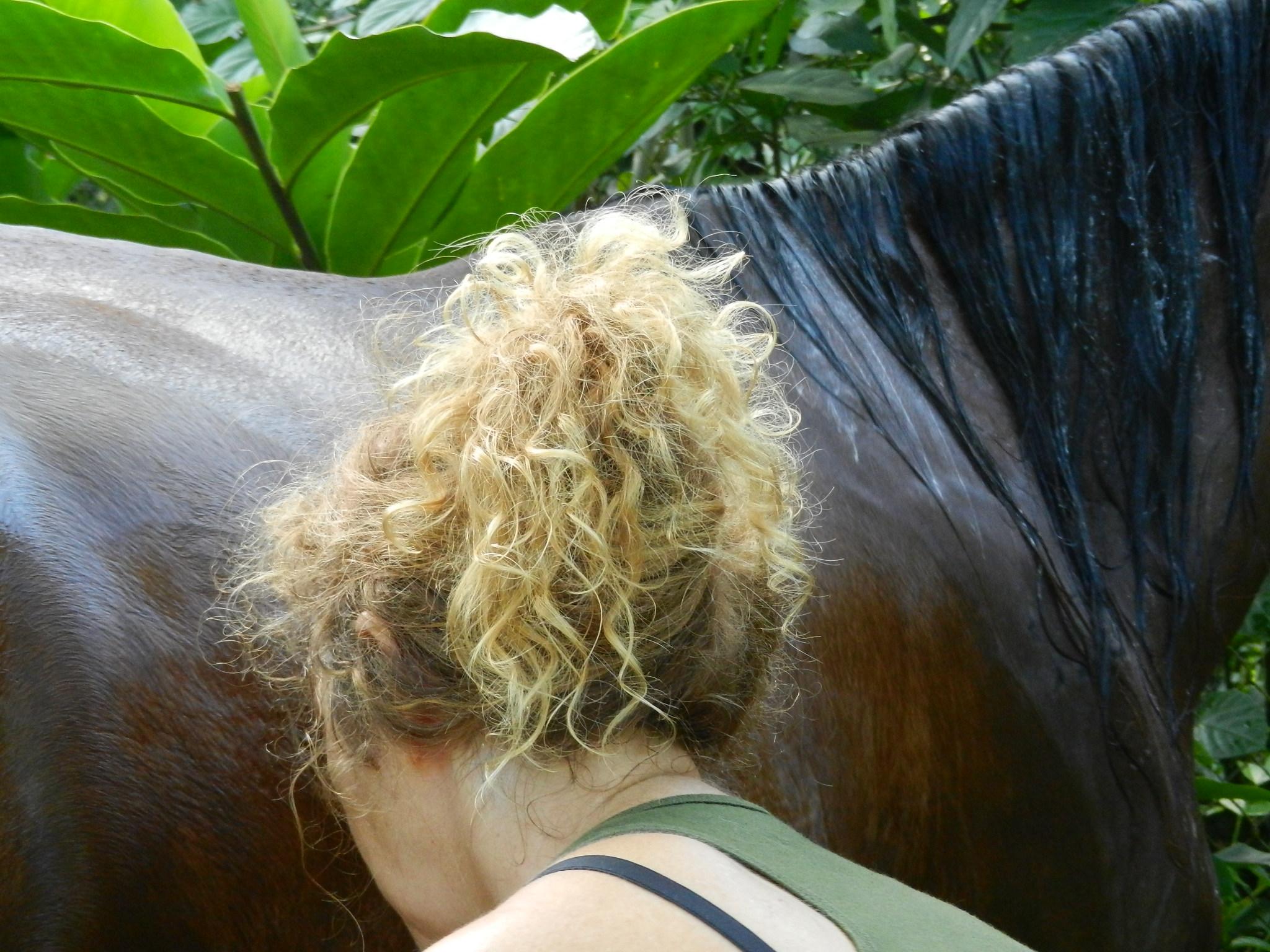washing horses on the Cariibbean